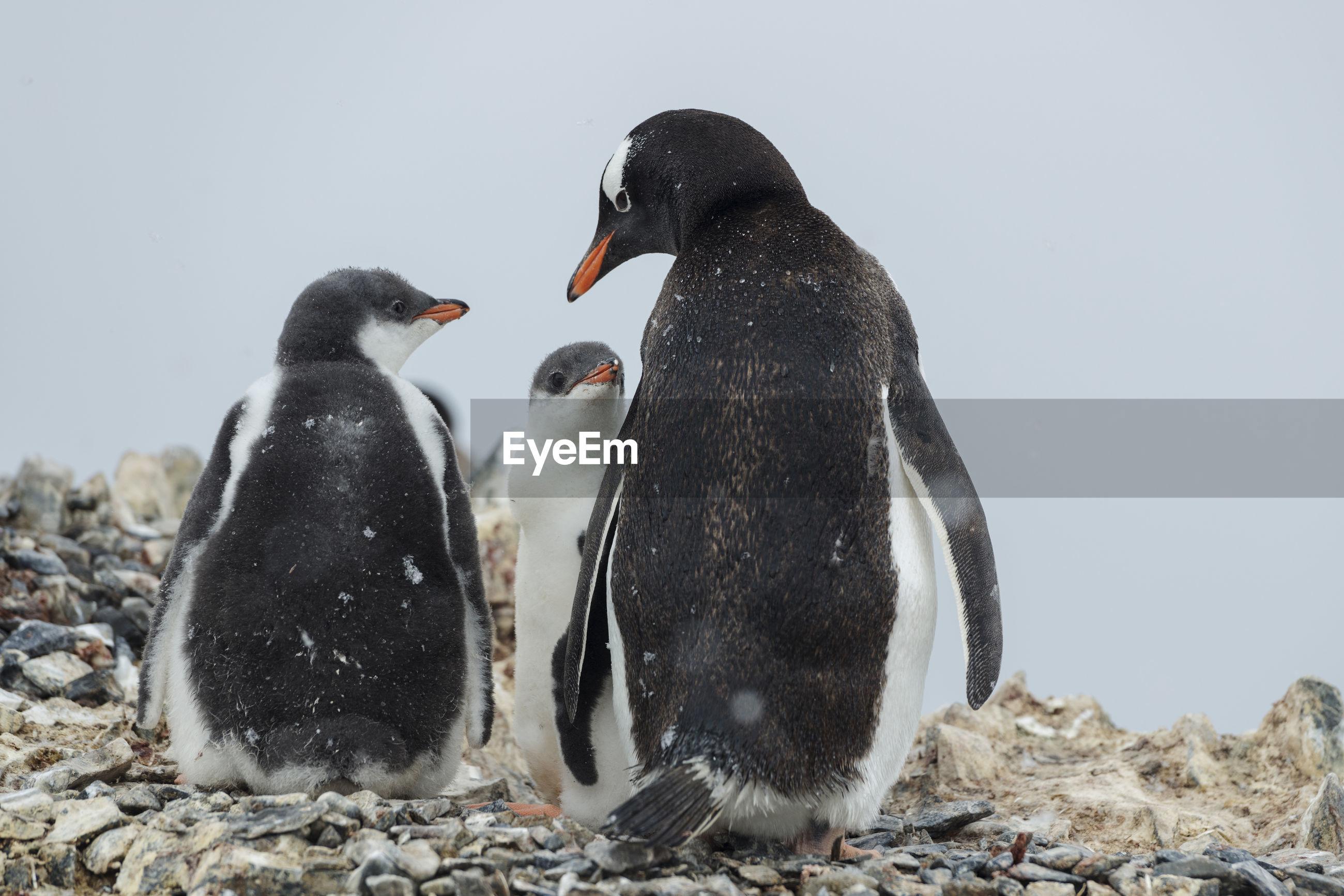 Penguins relaxing on rocks