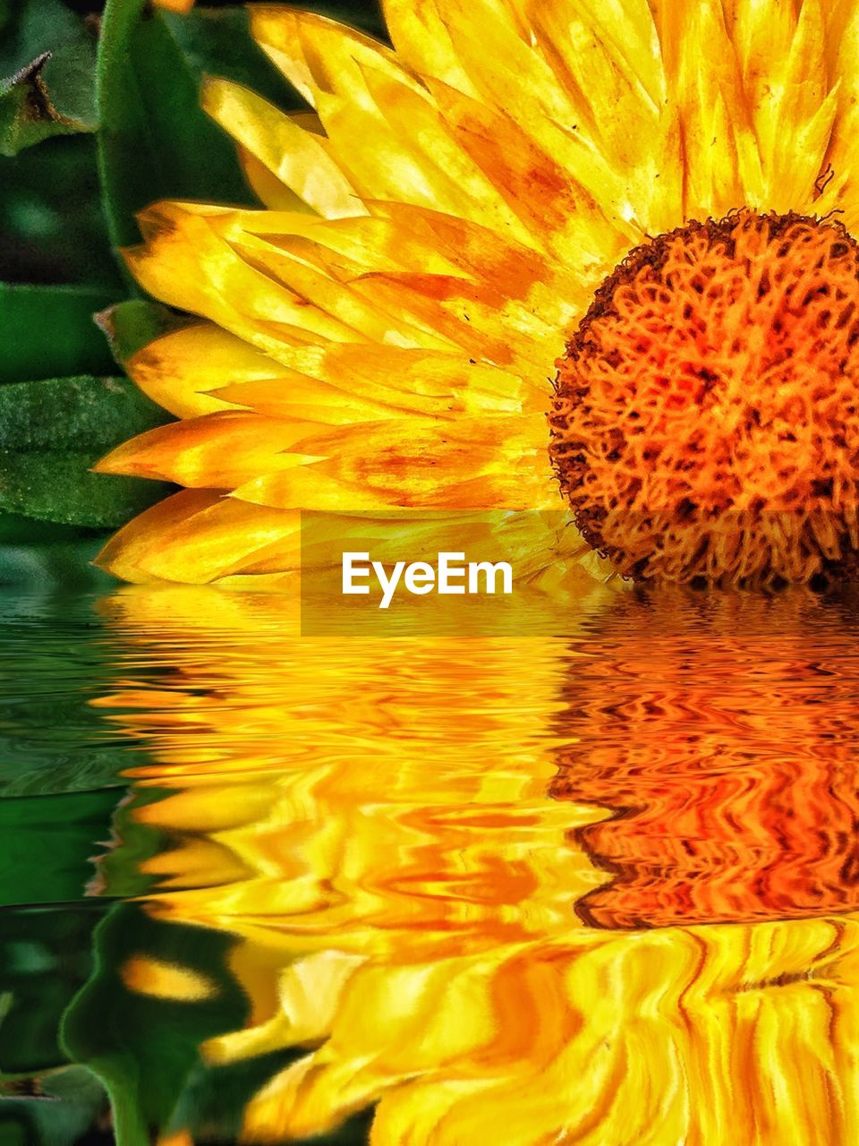flower, yellow, petal, fragility, beauty in nature, freshness, nature, flower head, close-up, no people, water, outdoors, day