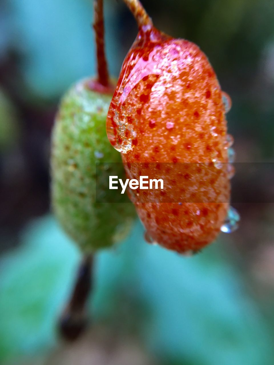 red, growth, nature, focus on foreground, fruit, beauty in nature, close-up, freshness, outdoors, no people, drop, day, plant, water, food