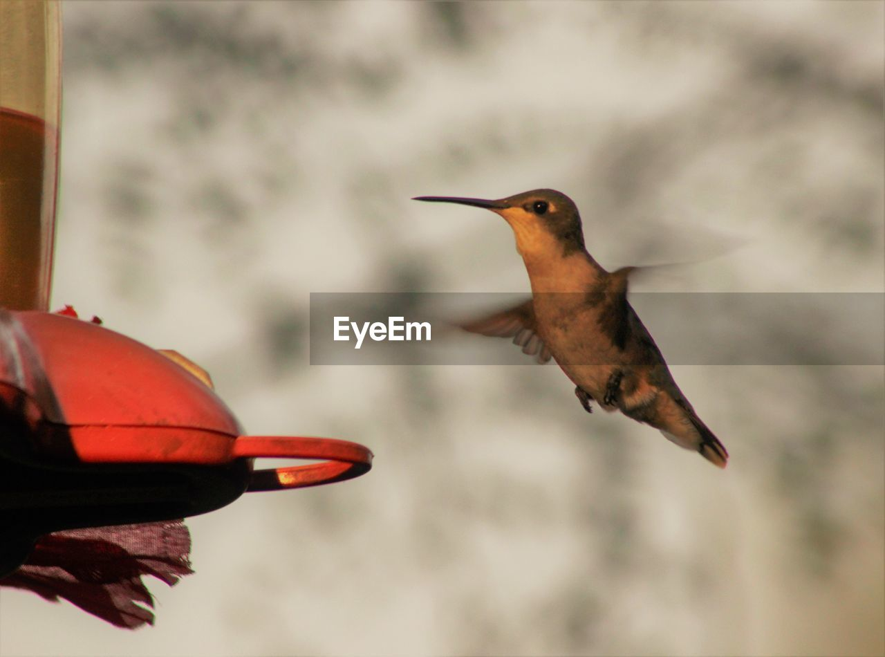 animal, vertebrate, animal themes, bird, animals in the wild, animal wildlife, flying, focus on foreground, hummingbird, mid-air, one animal, spread wings, nature, motion, day, no people, close-up, outdoors, hovering, beauty in nature