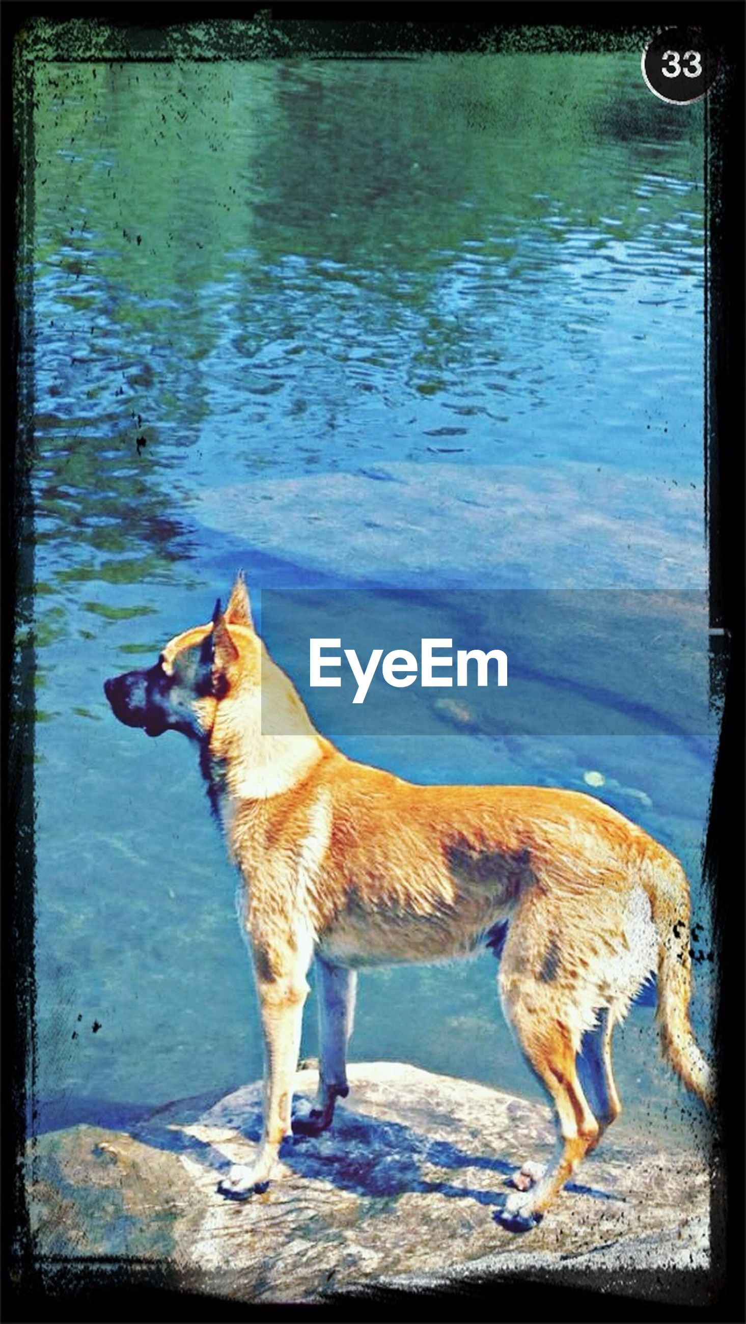 animal themes, domestic animals, transfer print, mammal, water, one animal, auto post production filter, dog, pets, standing, full length, two animals, lake, nature, day, vertebrate, sunlight, side view, outdoors, zoology