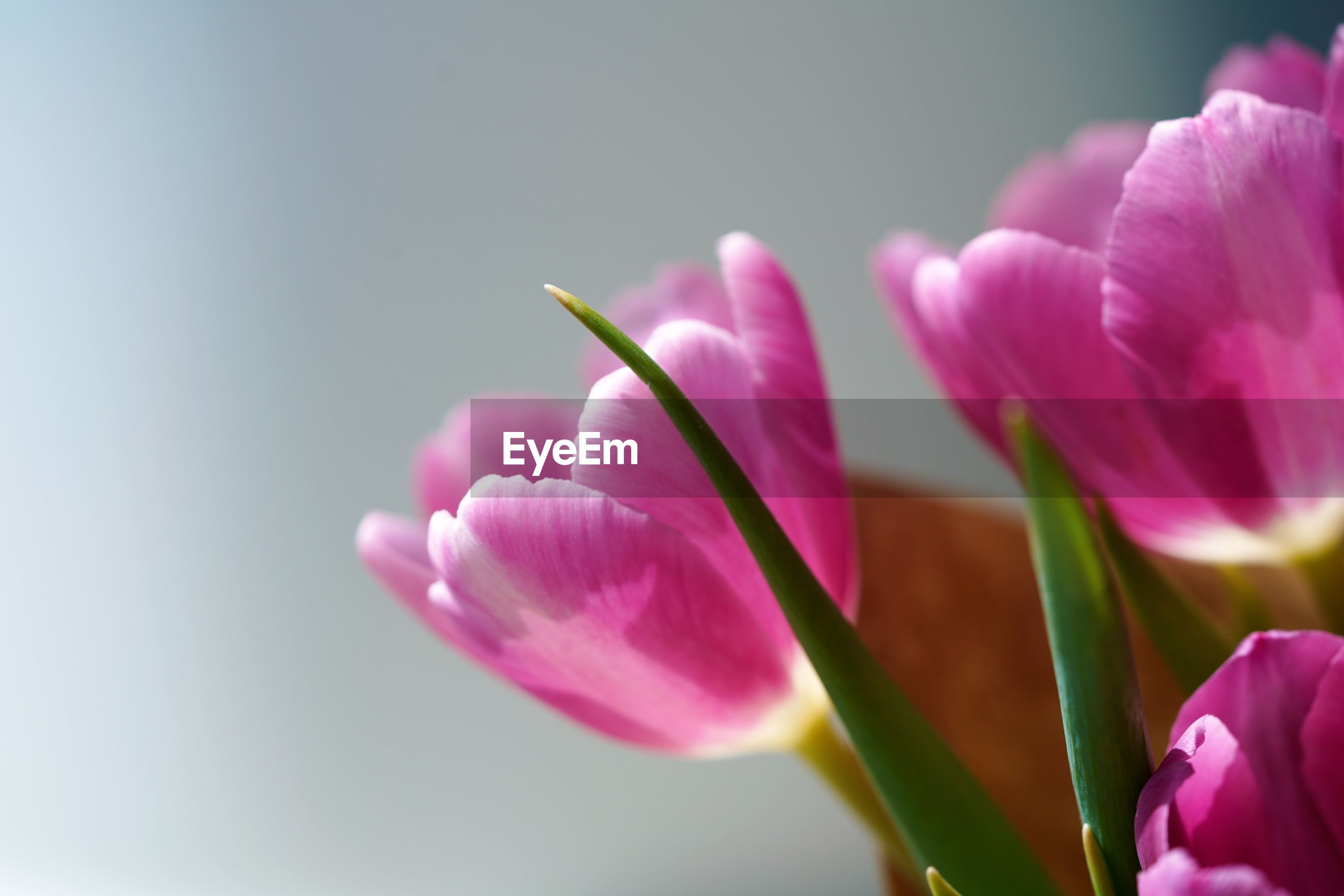 Macro view on violet petals of spring bouquet of tulips by blurred background