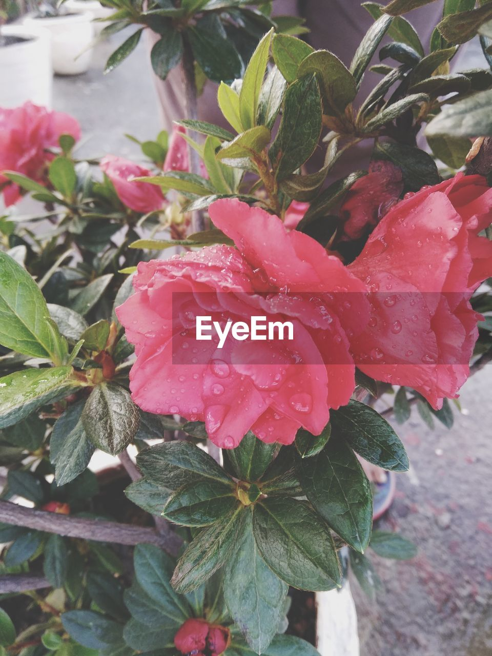 plant, beauty in nature, flowering plant, growth, flower, freshness, plant part, leaf, petal, drop, close-up, wet, fragility, pink color, water, vulnerability, flower head, inflorescence, day, no people, outdoors, rain, rainy season, pollen, dew, raindrop, purity
