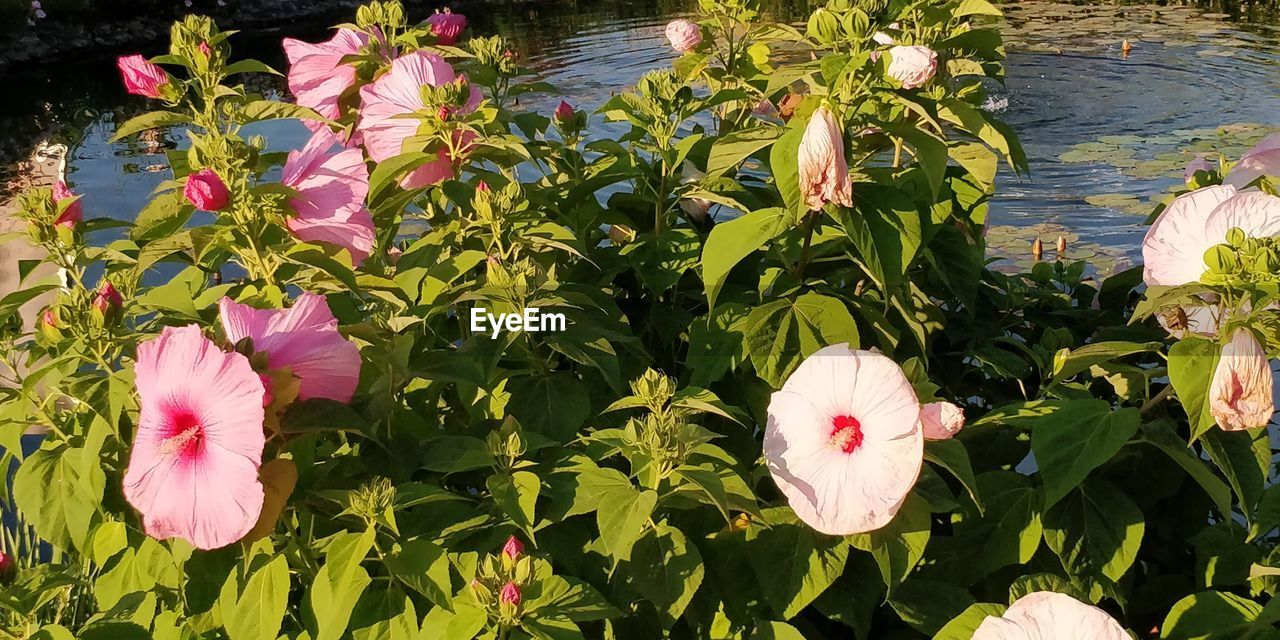 flower, flowering plant, petal, plant, freshness, beauty in nature, fragility, vulnerability, flower head, pink color, inflorescence, growth, plant part, leaf, close-up, nature, no people, day, green color, lake, outdoors, springtime, pollen, lotus water lily