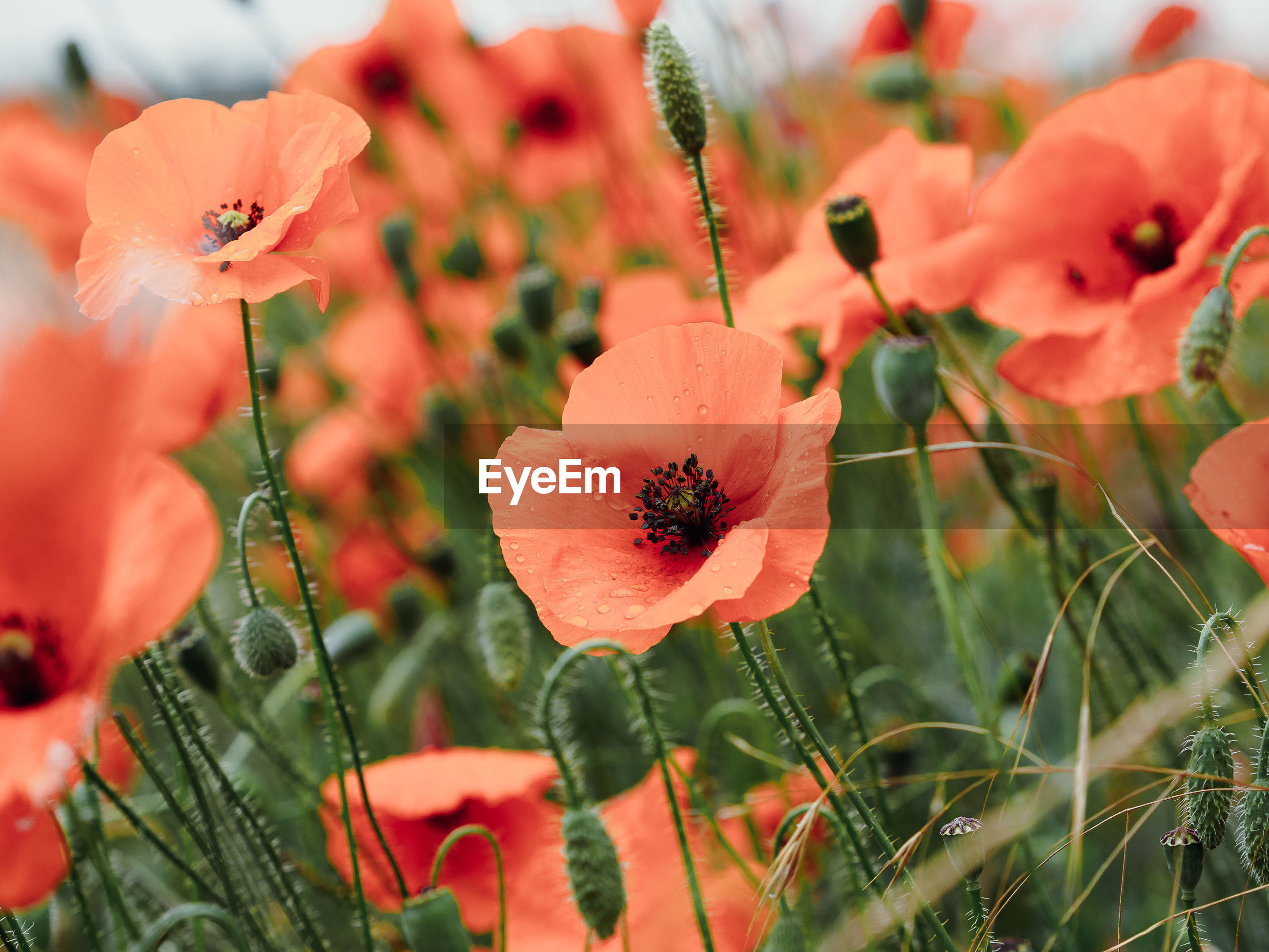 CLOSE-UP OF ORANGE POPPY FLOWERS IN FIELD
