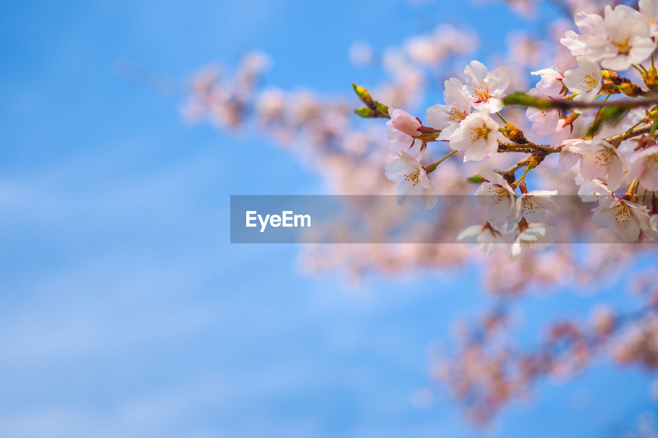 flowering plant, flower, fragility, plant, freshness, beauty in nature, vulnerability, growth, nature, tree, close-up, springtime, selective focus, blossom, day, cherry blossom, branch, no people, sky, petal, outdoors, cherry tree, flower head, pollen, bunch of flowers, spring