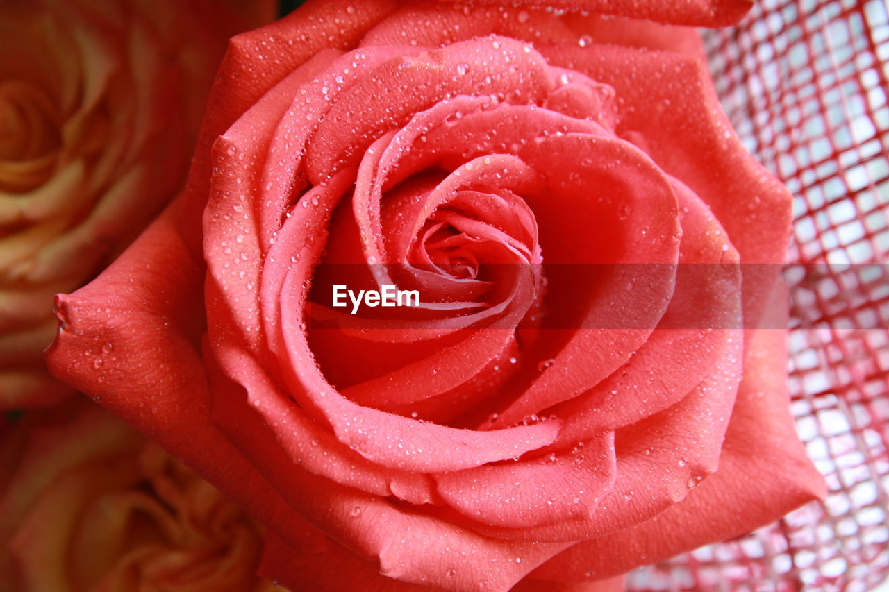 flower, petal, nature, flower head, beauty in nature, rose - flower, fragility, freshness, growth, pattern, close-up, plant, no people, beauty, red, outdoors, day