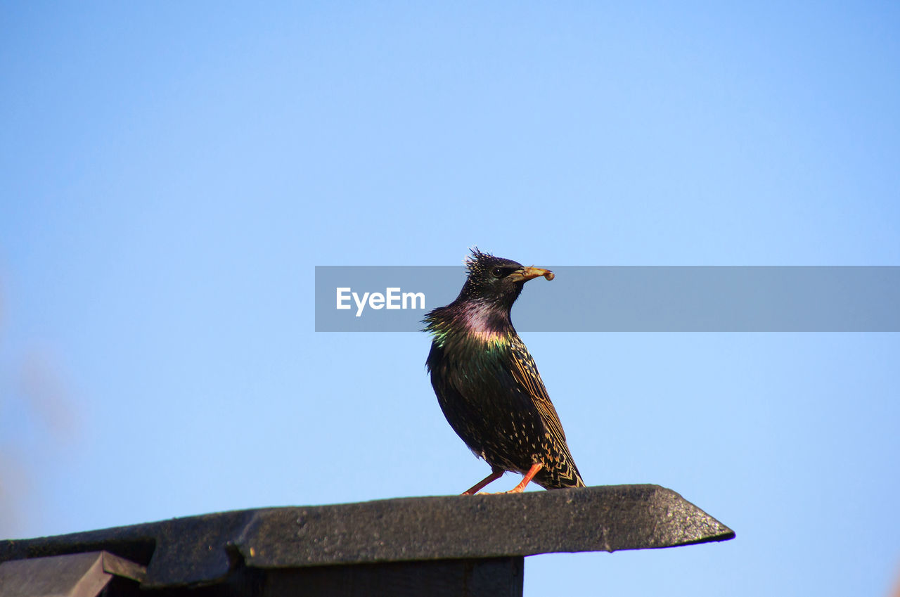 bird, animal, vertebrate, animal wildlife, animal themes, animals in the wild, one animal, perching, clear sky, sky, copy space, day, wood - material, no people, nature, blue, starling, low angle view, outdoors, close-up