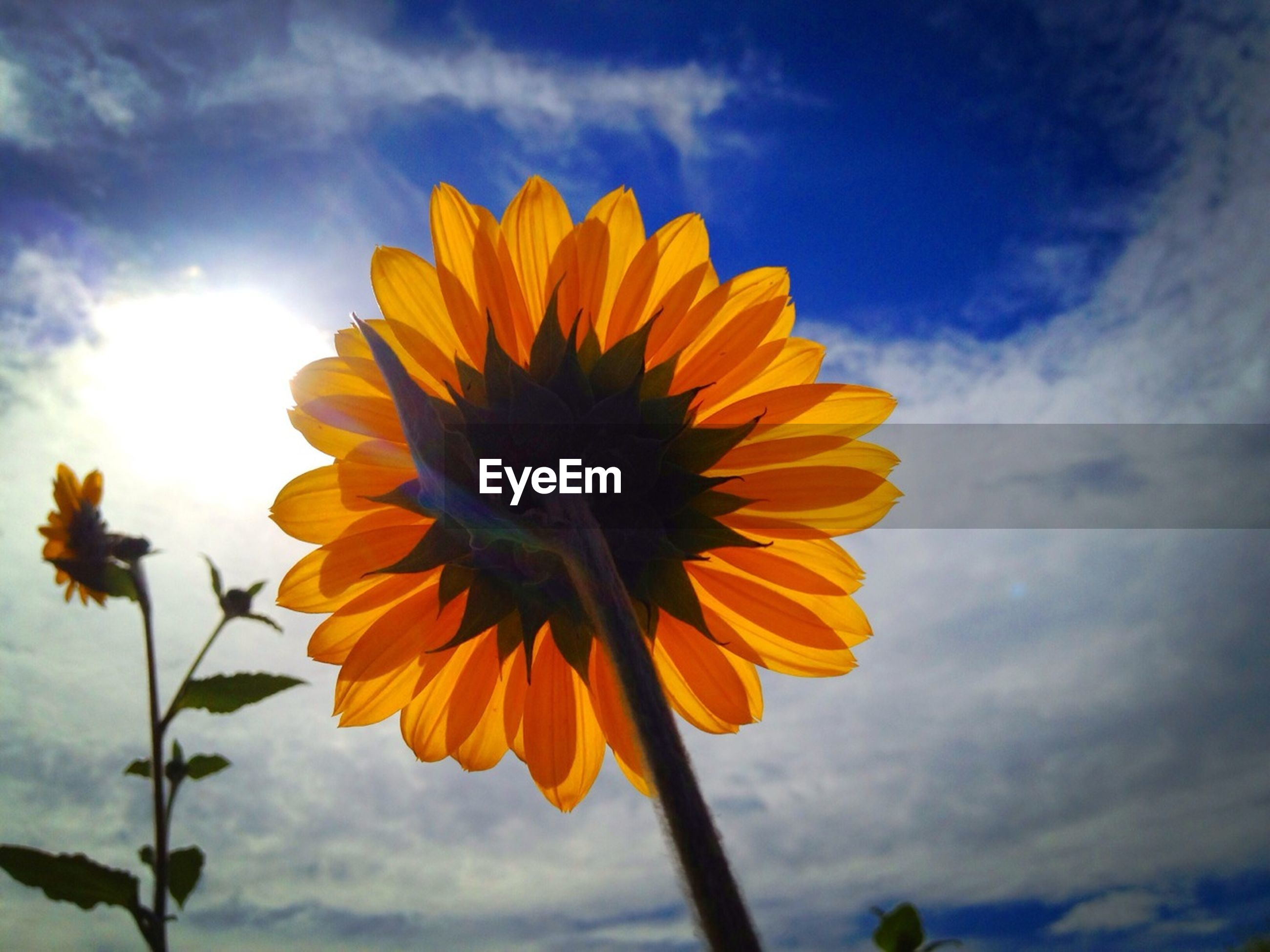 flower, sky, petal, freshness, flower head, fragility, yellow, beauty in nature, growth, low angle view, cloud - sky, sunflower, blooming, nature, cloud, single flower, stem, pollen, plant, close-up