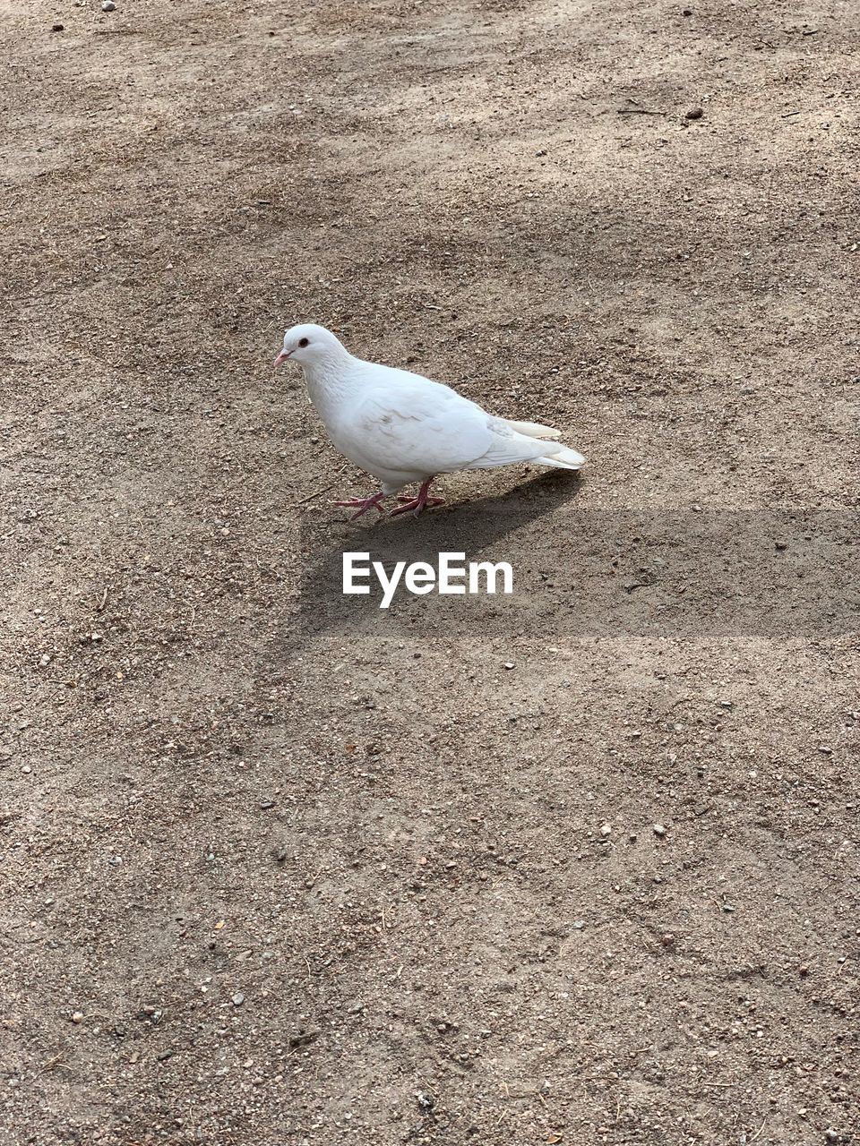 animal themes, animal, bird, animal wildlife, one animal, animals in the wild, vertebrate, day, no people, high angle view, land, perching, nature, full length, outdoors, seagull, field, white color, sunlight, side view