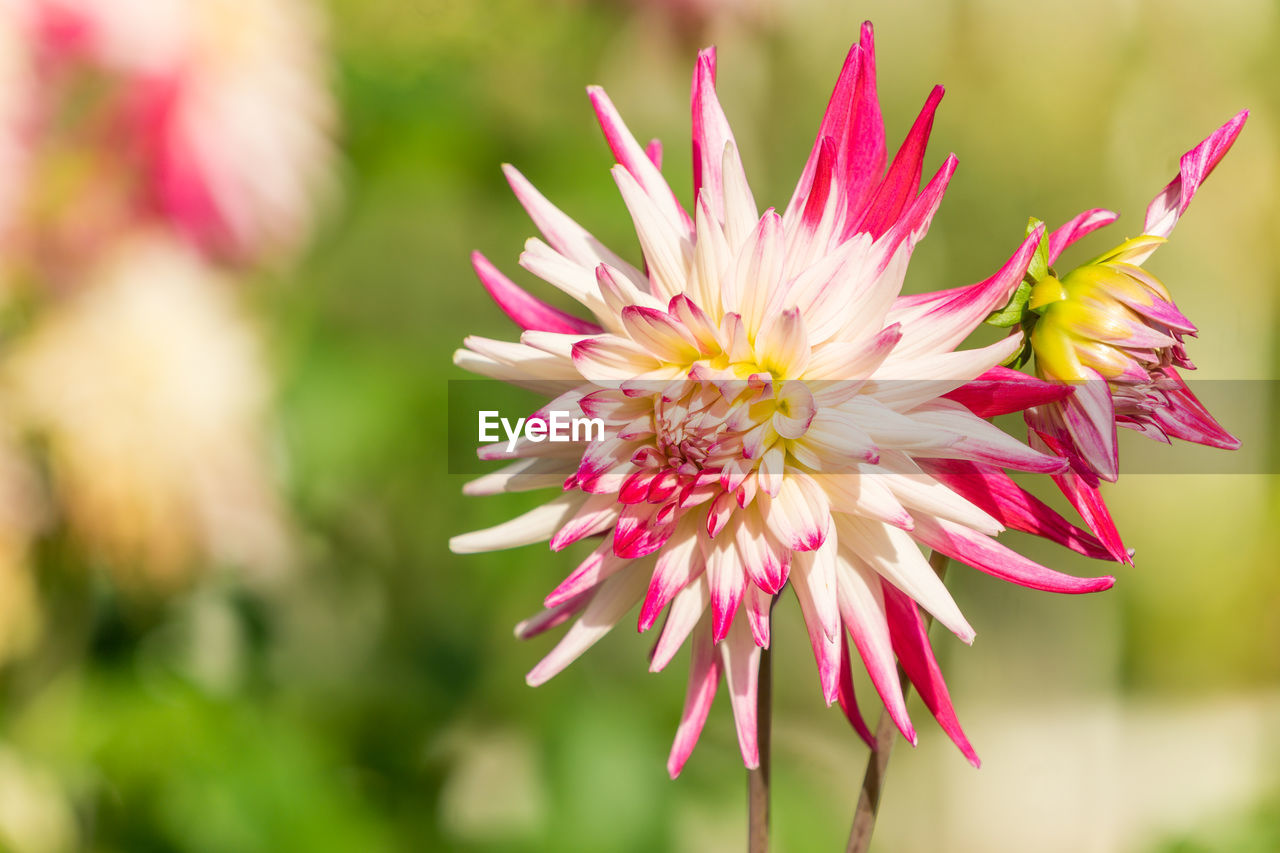 flower, flowering plant, fragility, vulnerability, beauty in nature, plant, freshness, petal, close-up, pink color, flower head, inflorescence, focus on foreground, growth, nature, chrysanthemum, day, no people, dahlia, pollen