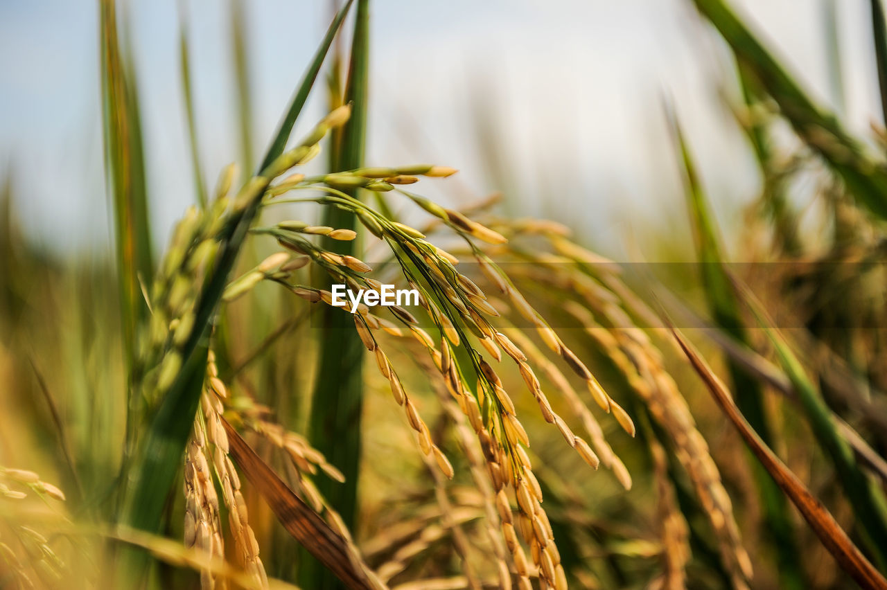 growth, nature, cereal plant, crop, wheat, ear of wheat, plant, agriculture, close-up, green color, no people, day, outdoors, field, beauty in nature, rye - grain, grass, freshness