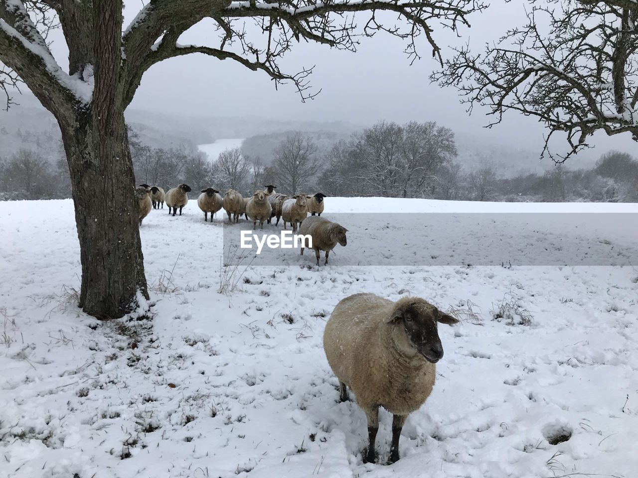 winter, snow, cold temperature, animal themes, tree, group of animals, animal, mammal, vertebrate, plant, field, land, animals in the wild, animal wildlife, nature, covering, beauty in nature, domestic animals, pets, no people, outdoors, herbivorous, snowcapped mountain