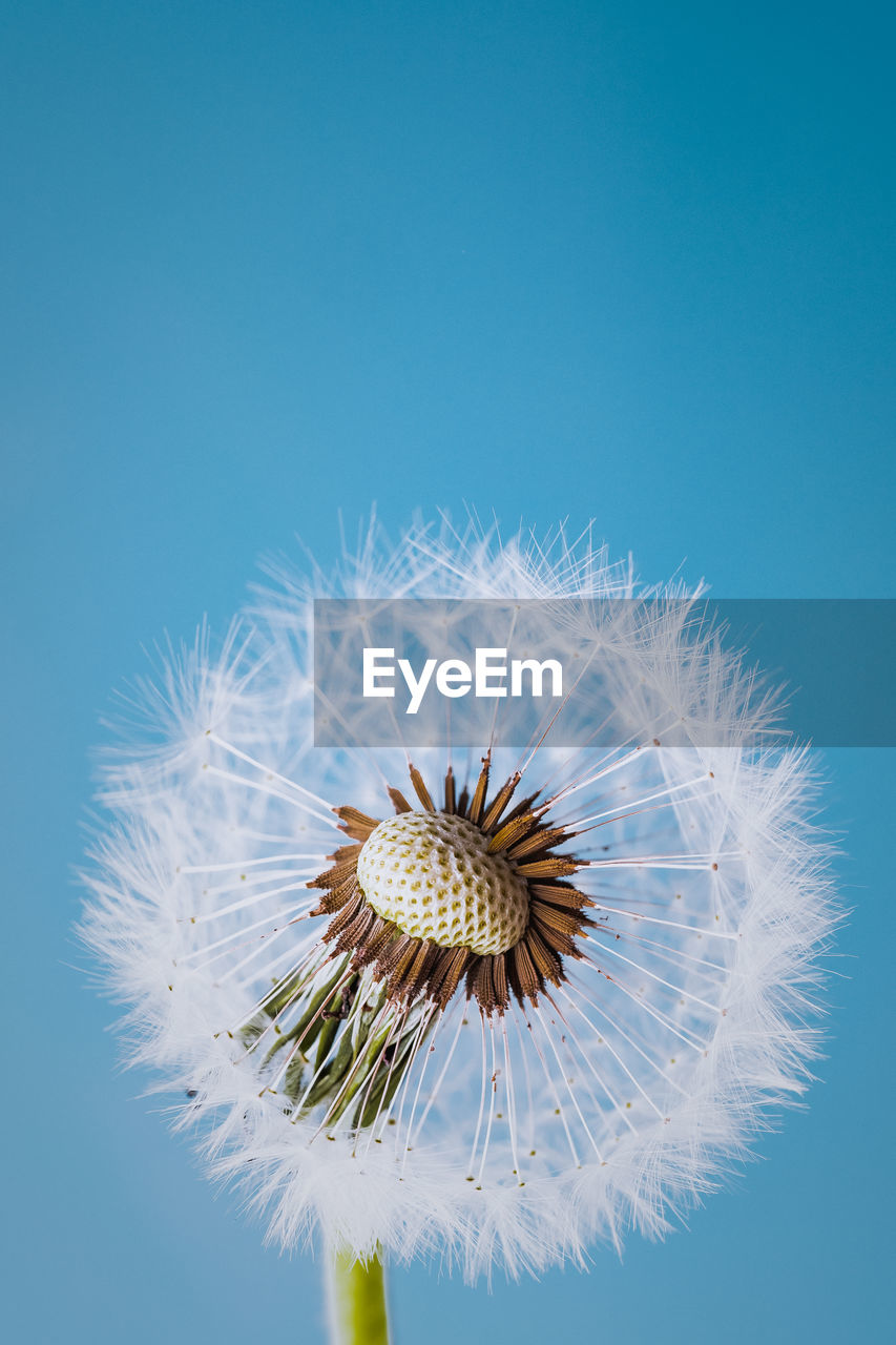 flower, flowering plant, fragility, vulnerability, freshness, beauty in nature, flower head, close-up, inflorescence, plant, no people, dandelion, colored background, white color, blue, growth, studio shot, nature, petal, pollen, dandelion seed, softness, blue background