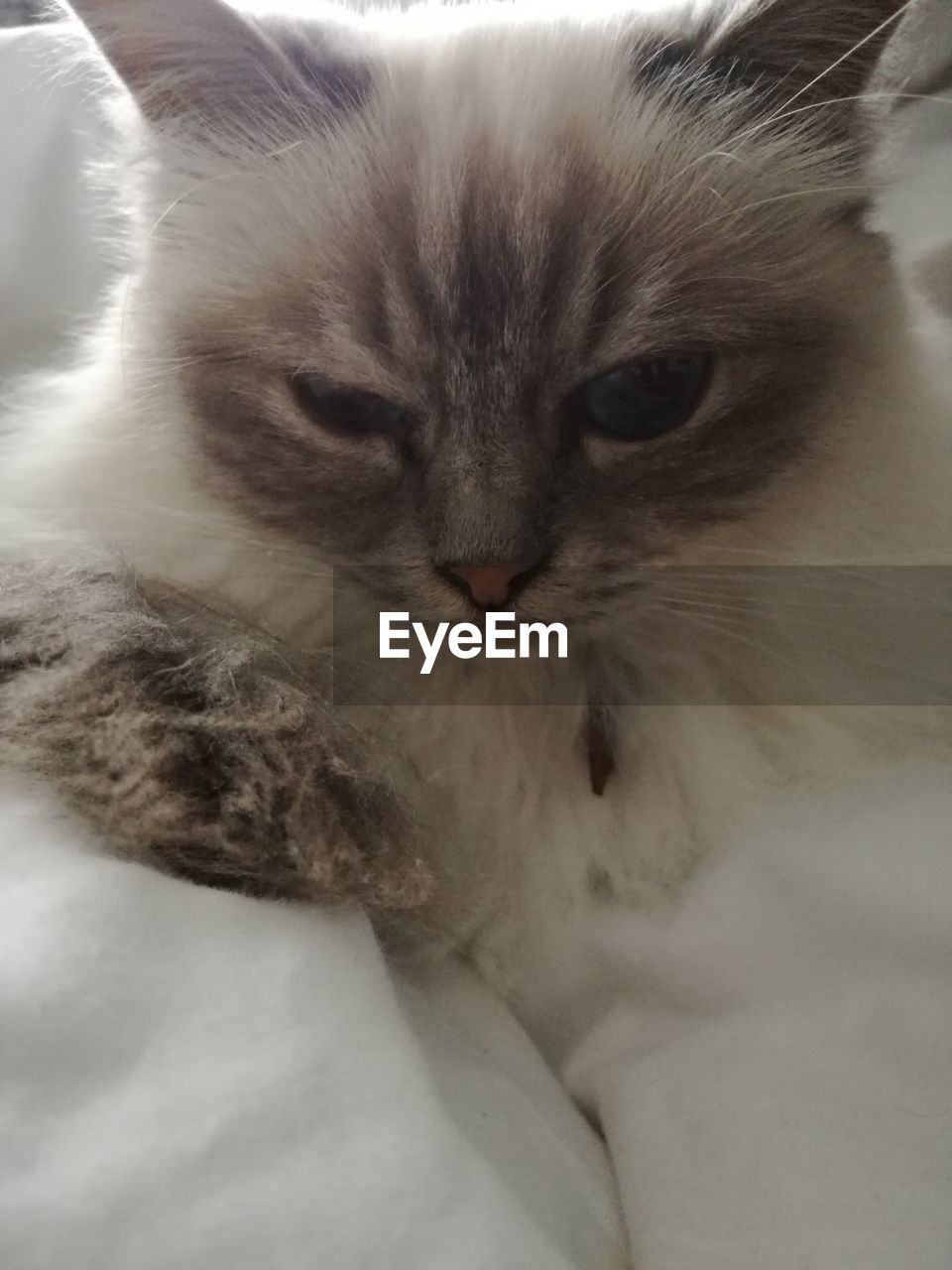 domestic cat, feline, pets, cat, domestic animals, mammal, whisker, animal themes, indoors, no people, close-up, persian cat, day