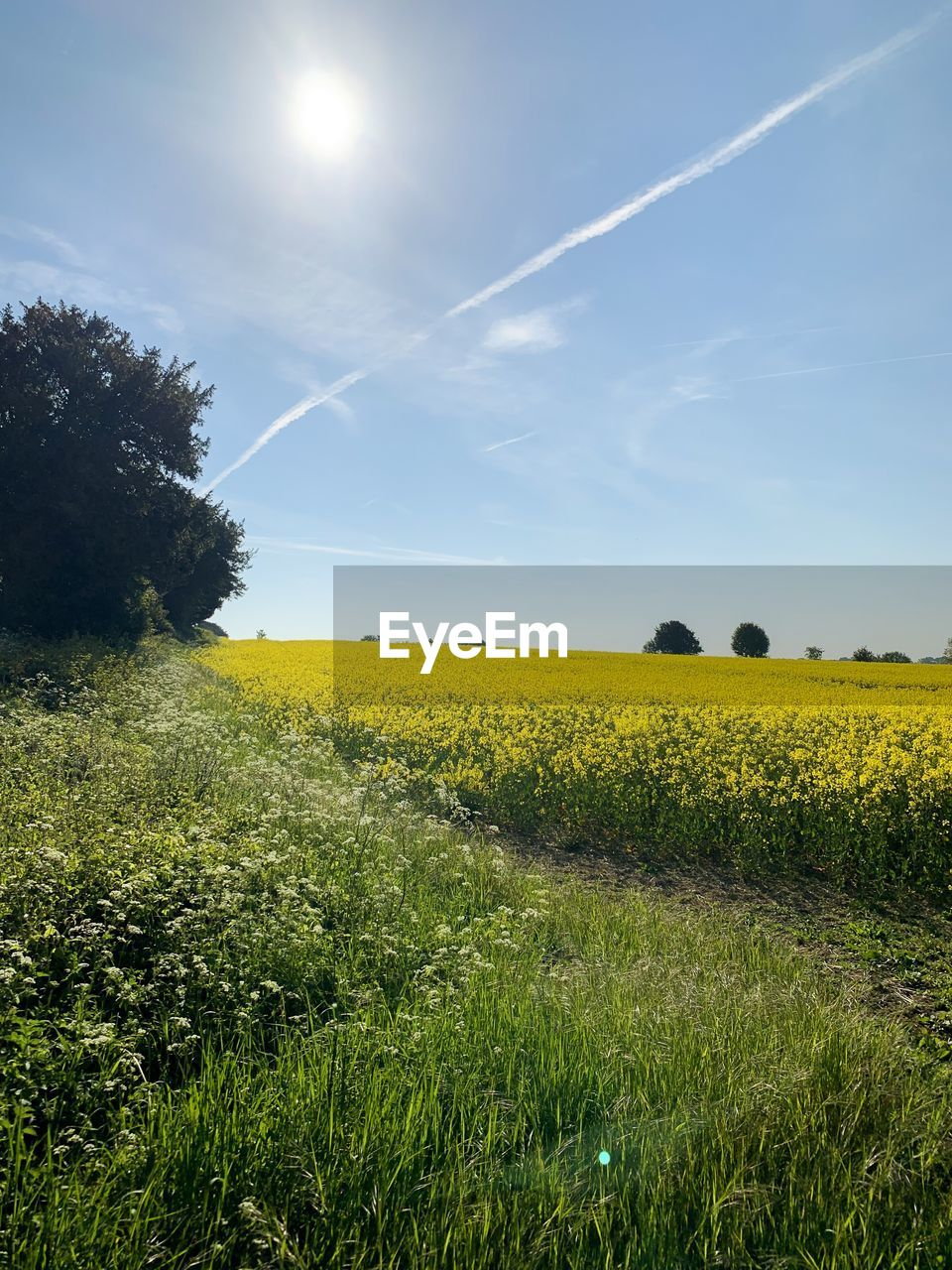 plant, sky, landscape, beauty in nature, field, land, tranquil scene, environment, yellow, tranquility, scenics - nature, growth, nature, rural scene, agriculture, grass, flower, tree, oilseed rape, sunlight, no people, sun, outdoors