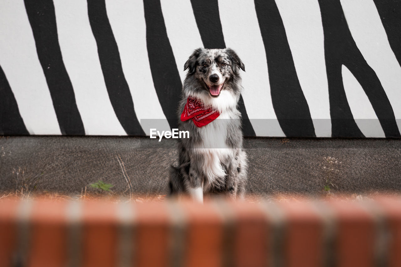 one animal, animal themes, dog, mammal, canine, pets, domestic, domestic animals, animal, vertebrate, barrier, fence, boundary, portrait, day, selective focus, looking at camera, security, front view, no people, animal tongue, small