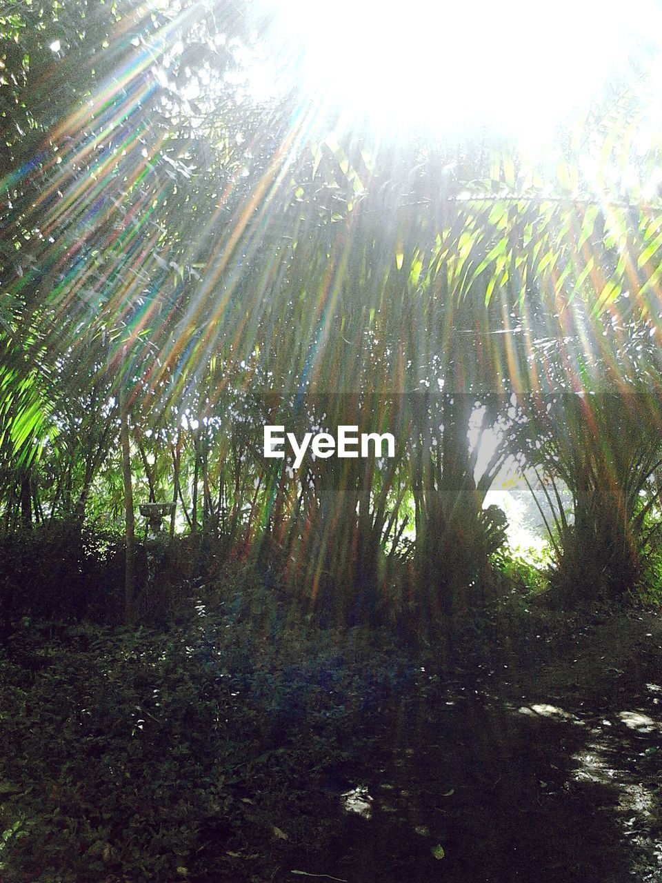 nature, tranquility, growth, beauty in nature, tranquil scene, lens flare, sunlight, sunbeam, outdoors, no people, day, forest, tree, scenics, bamboo - plant, bamboo grove, low angle view, sky