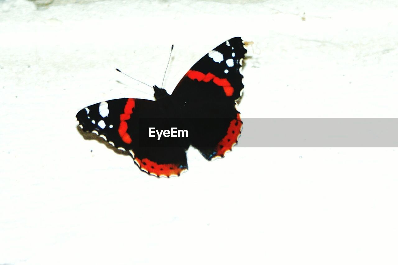 butterfly - insect, insect, animal themes, one animal, animals in the wild, butterfly, animal wing, animal markings, wildlife, white background, animal wildlife, nature, no people, close-up, outdoors, beauty in nature, day