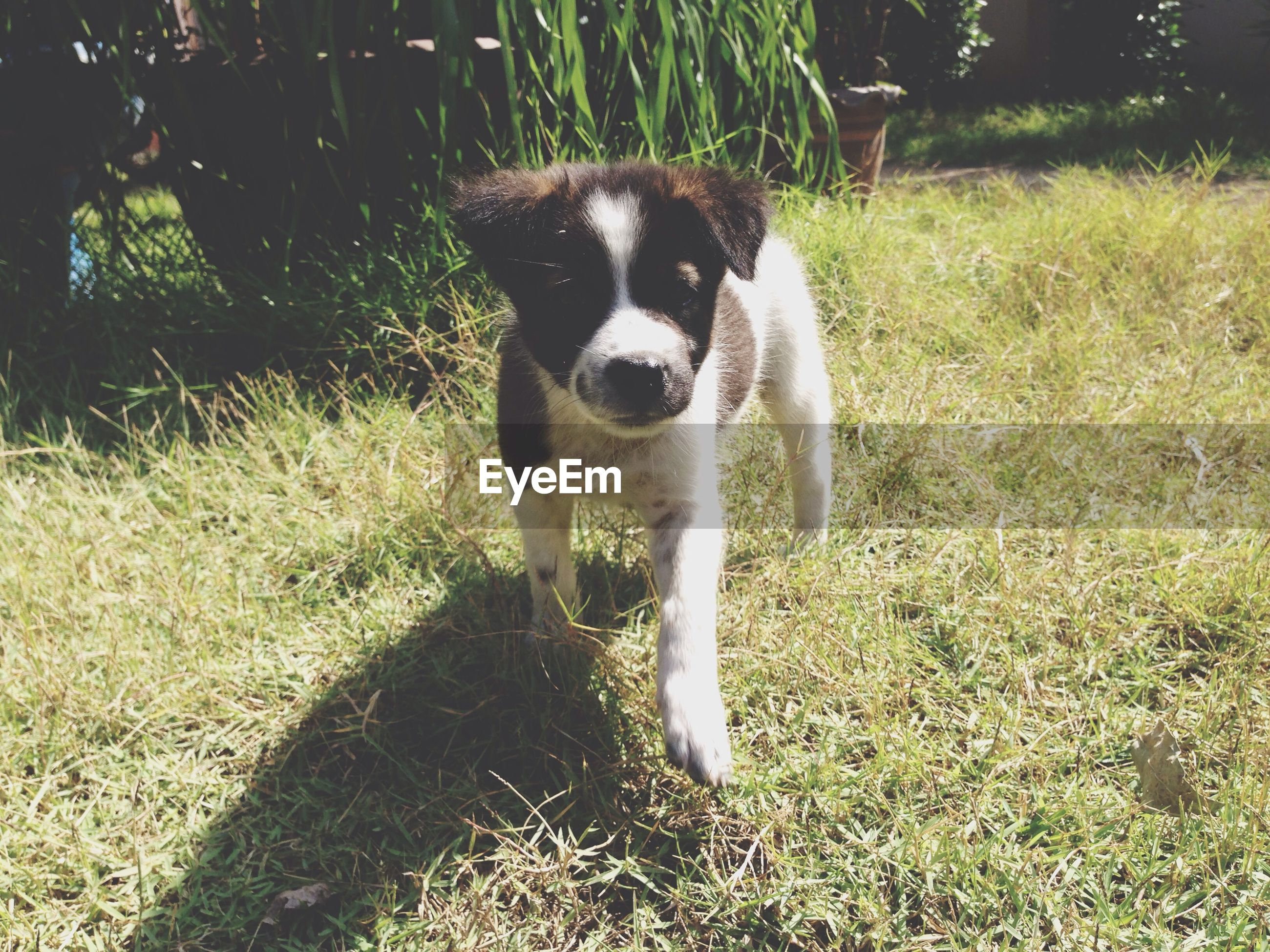 one animal, pets, dog, domestic animals, grass, animal themes, mammal, field, grassy, portrait, standing, sunlight, looking at camera, sitting, full length, nature, day, growth, outdoors, high angle view
