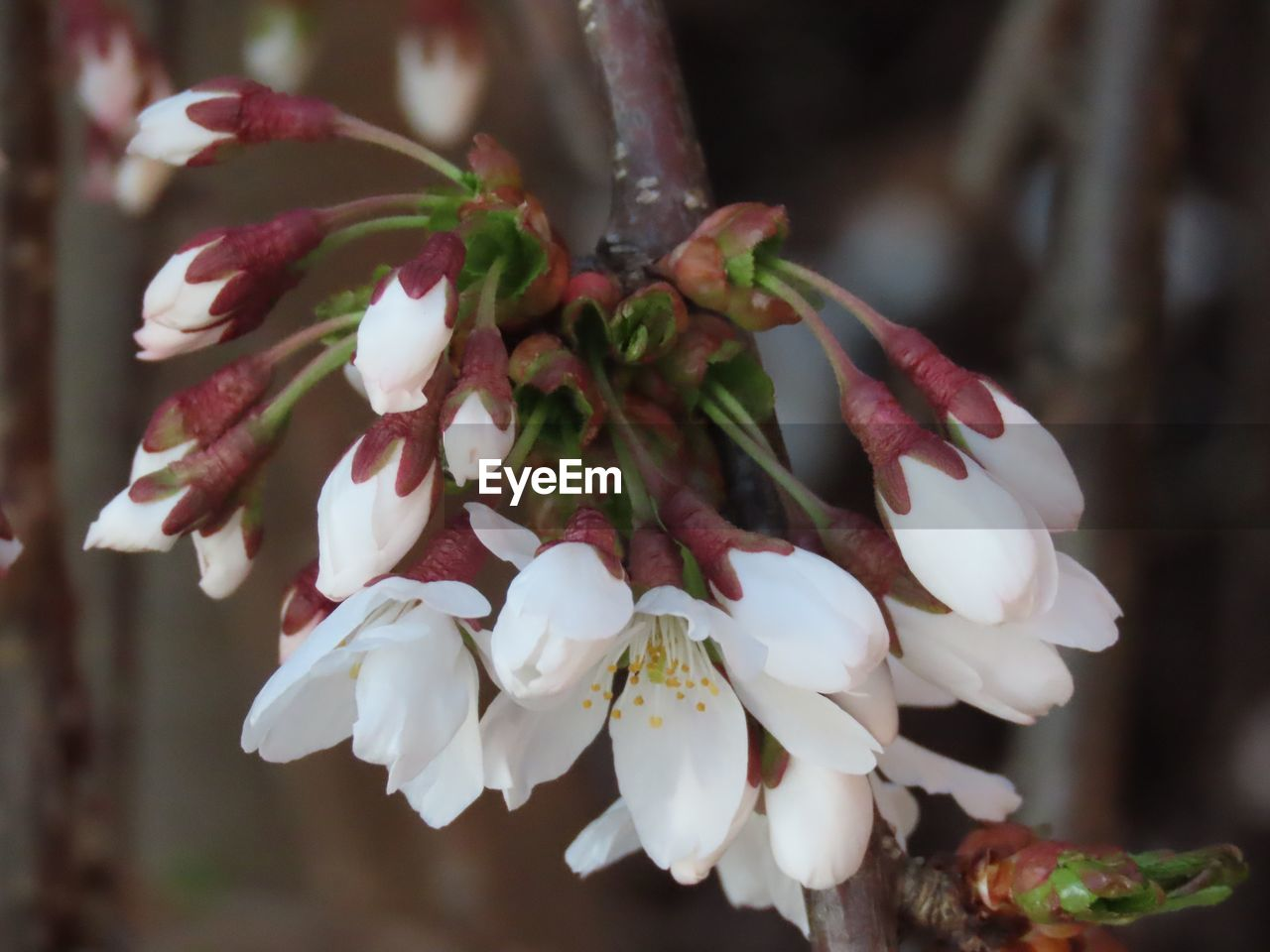 plant, flower, flowering plant, freshness, growth, beauty in nature, vulnerability, fragility, close-up, petal, white color, focus on foreground, no people, nature, flower head, inflorescence, day, tree, outdoors, blossom, springtime, pollen, cherry blossom, flower arrangement