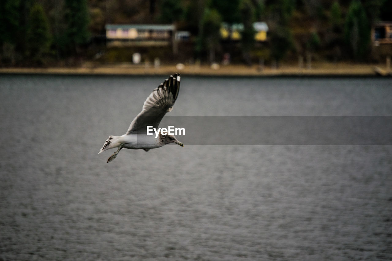 bird, vertebrate, animal themes, animal, animals in the wild, animal wildlife, one animal, flying, water, spread wings, mid-air, focus on foreground, no people, day, sea, waterfront, nature, seagull, outdoors