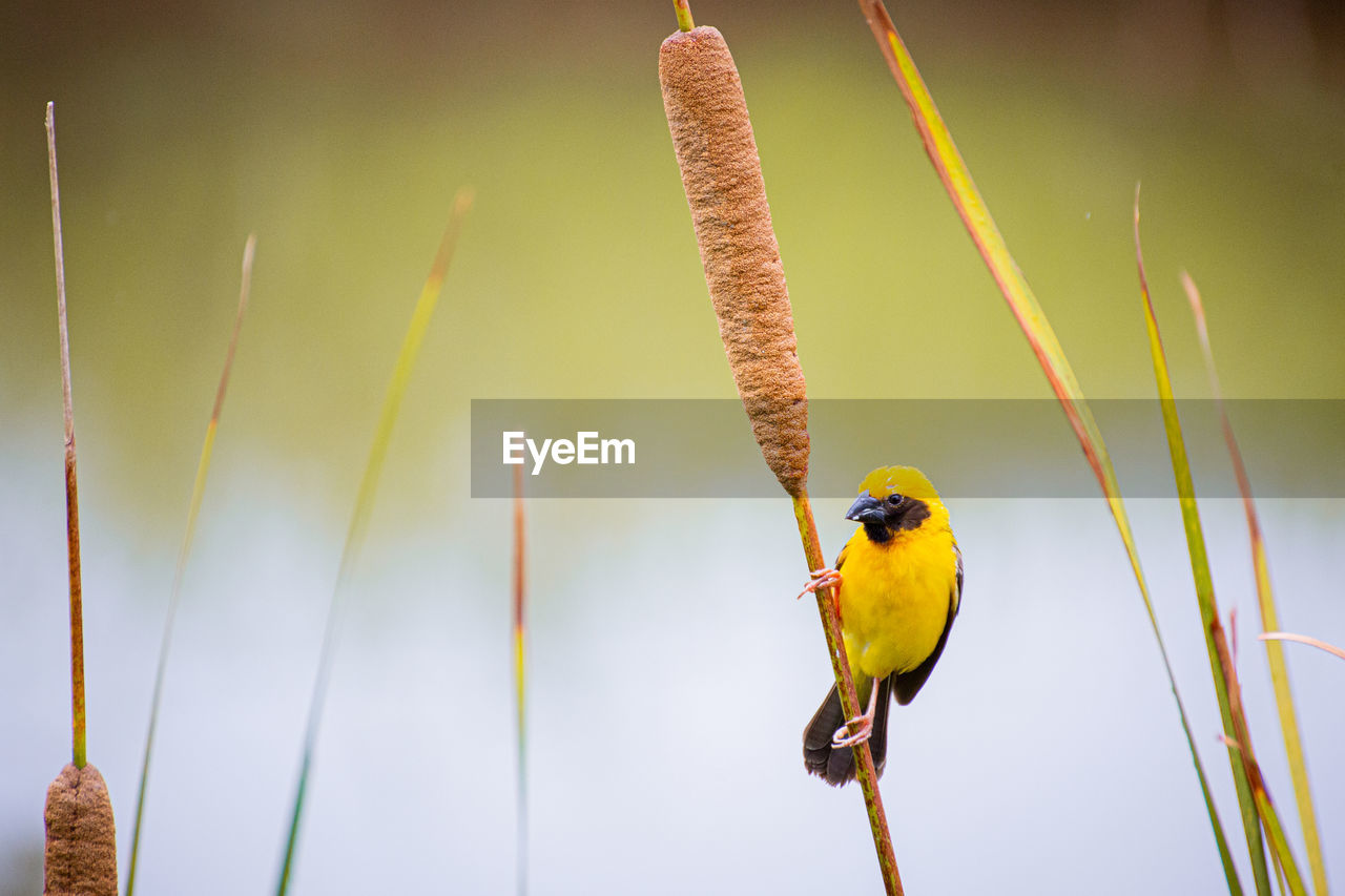 bird, animal wildlife, animal themes, vertebrate, animal, animals in the wild, one animal, perching, focus on foreground, yellow, no people, day, nature, beauty in nature, plant, outdoors, close-up, low angle view, stick - plant part, tree