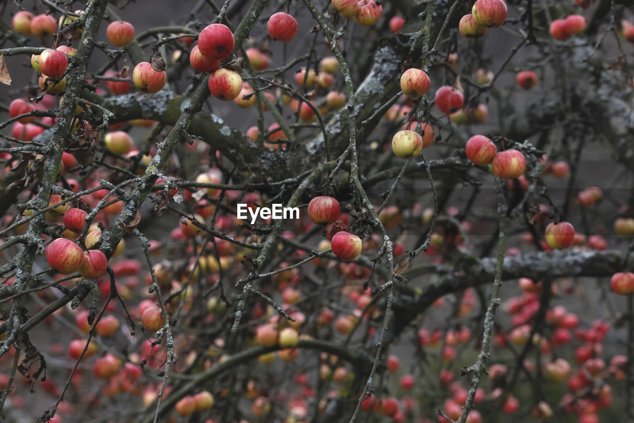 fruit, tree, food and drink, day, outdoors, nature, growing, no people, growth, focus on foreground, beauty in nature, food, rose hip, rowanberry, close-up, branch, winter, freshness
