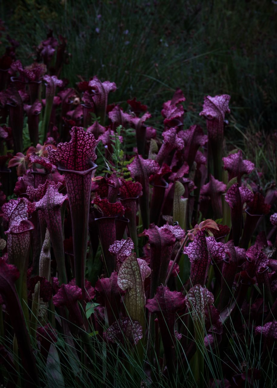 flower, flowering plant, freshness, plant, vulnerability, beauty in nature, fragility, growth, close-up, purple, no people, nature, day, field, petal, land, inflorescence, abundance, outdoors, flower head