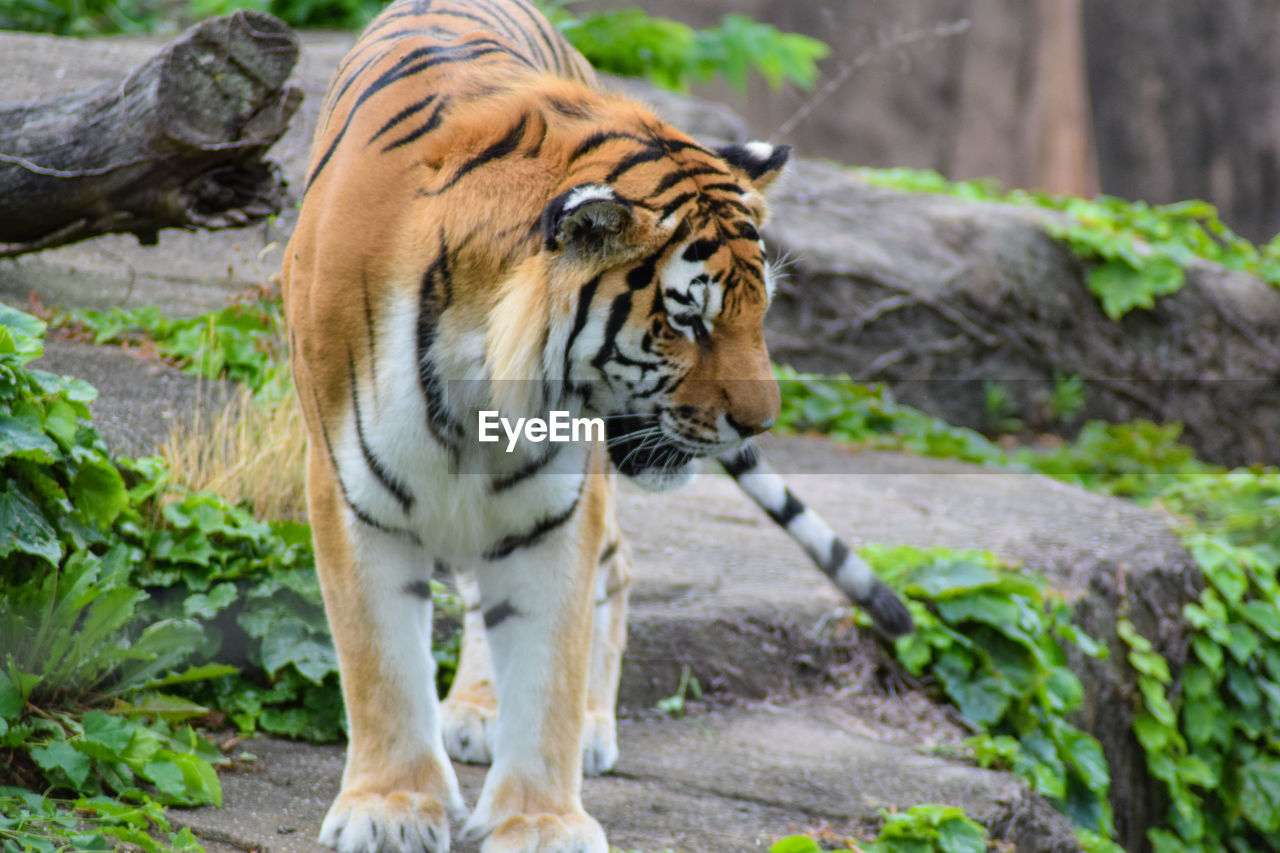 one animal, animals in the wild, rock - object, animal themes, outdoors, day, animal wildlife, tiger, no people, mammal, nature, full length, close-up