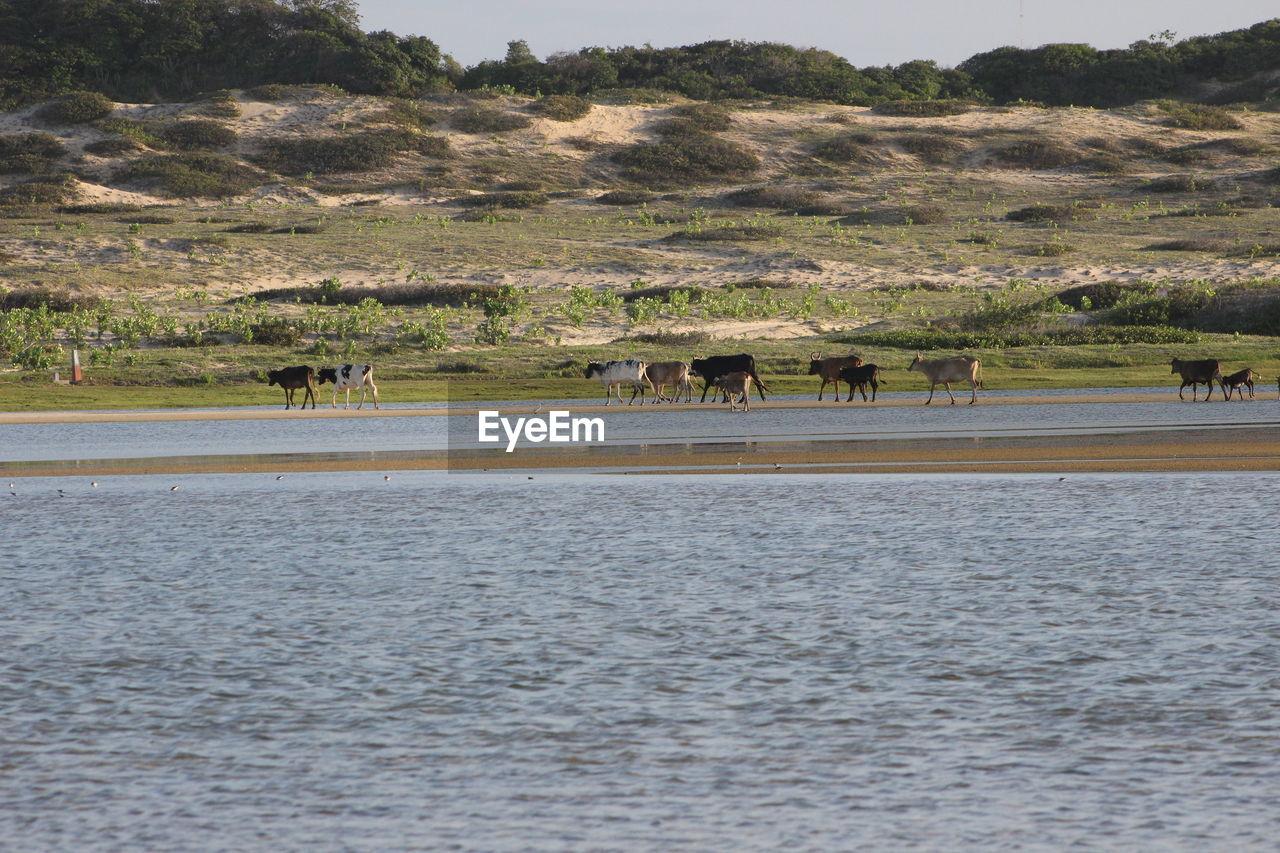 Cows at calm lake