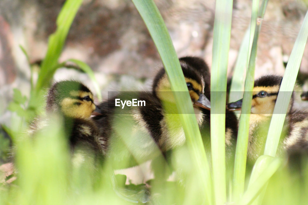 CLOSE-UP OF A DUCK IN A PLANTS