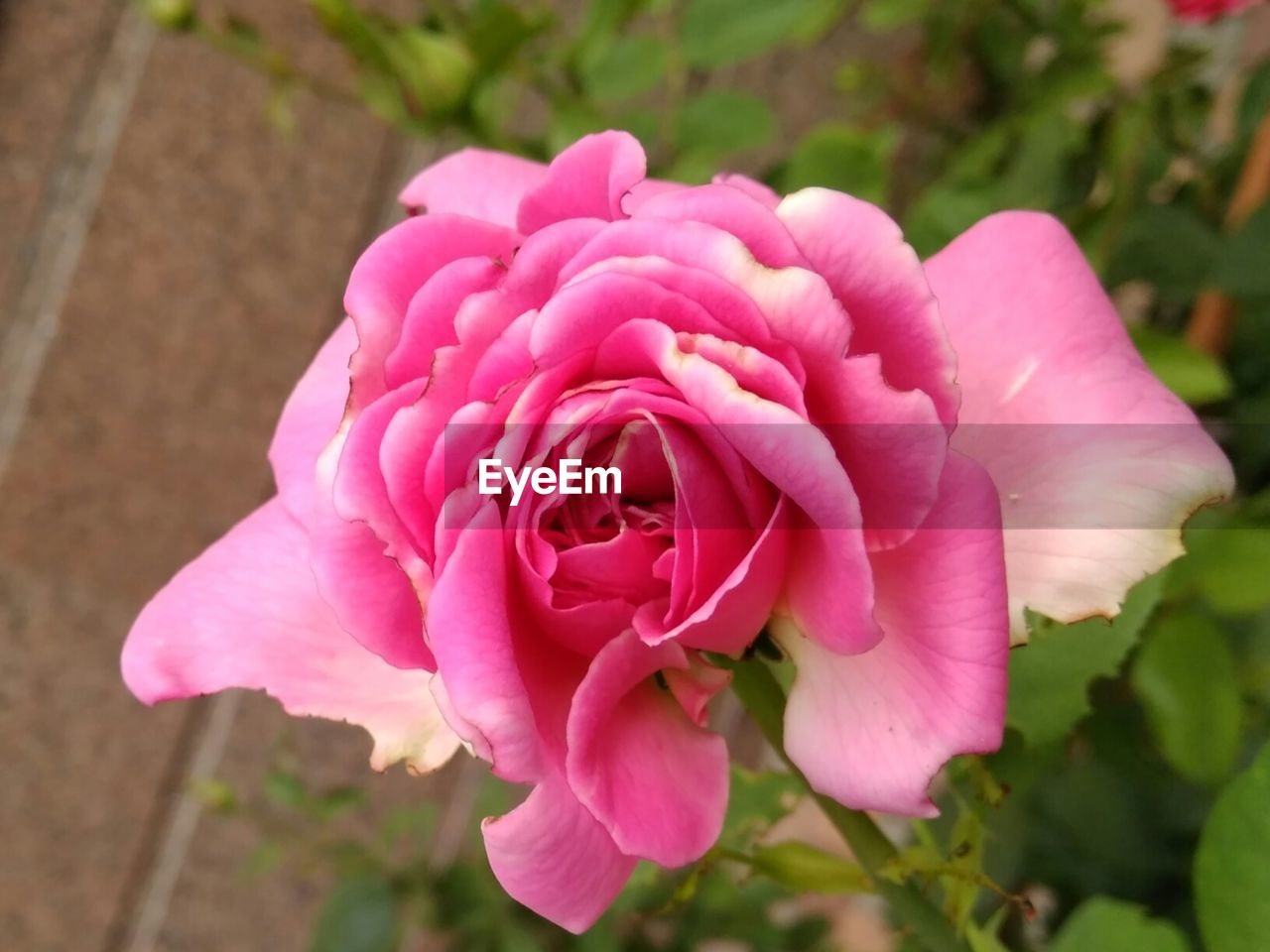 flower, petal, pink color, nature, beauty in nature, flower head, fragility, plant, growth, freshness, no people, focus on foreground, outdoors, close-up, blooming, rose - flower, day