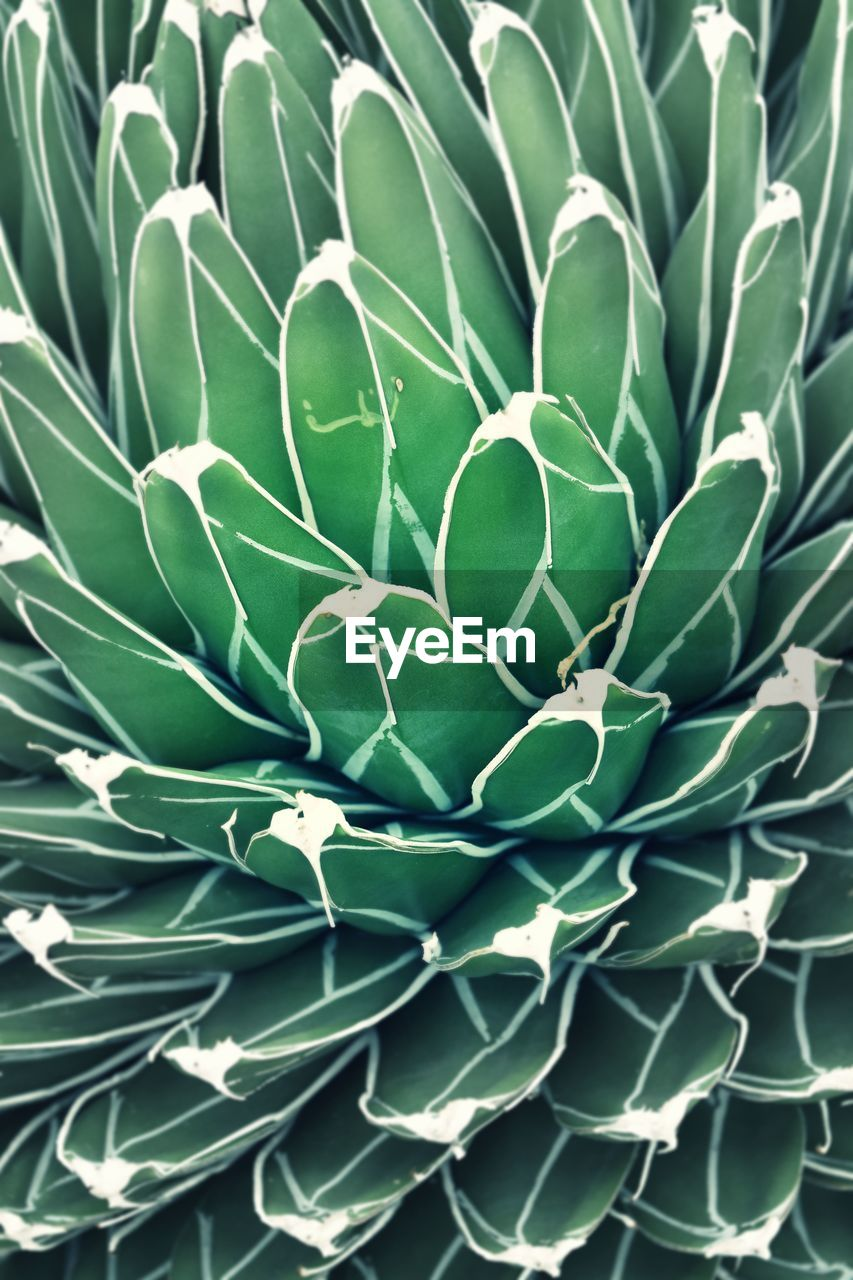 DIRECTLY ABOVE SHOT OF SUCCULENT PLANT