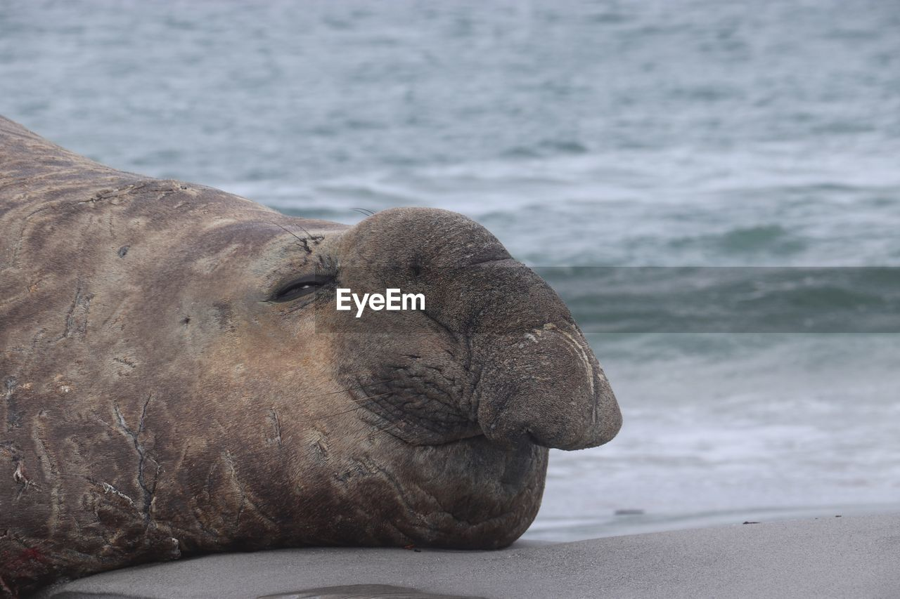 CLOSE-UP OF A SEA LION