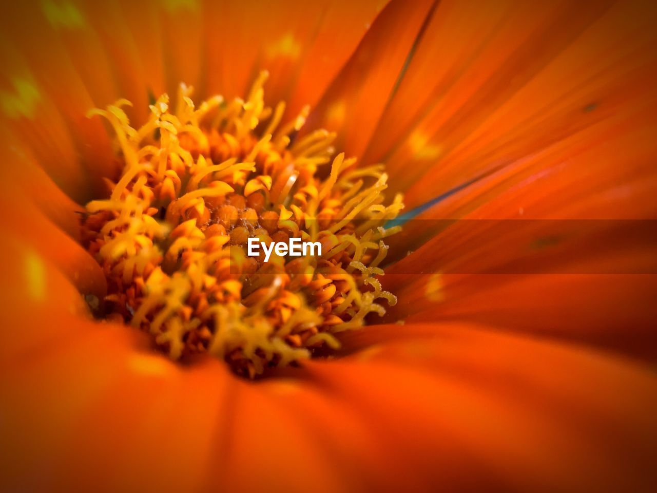 flower, petal, beauty in nature, orange color, nature, freshness, fragility, flower head, growth, selective focus, pollen, blooming, plant, no people, close-up, yellow, outdoors, marigold, backgrounds, day