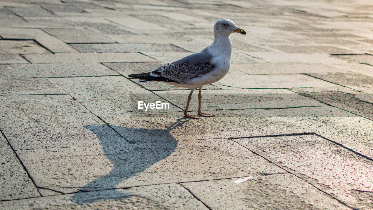 bird, animal themes, animal, animals in the wild, vertebrate, animal wildlife, one animal, day, sunlight, shadow, footpath, no people, perching, nature, seagull, outdoors, full length, high angle view, street, paving stone