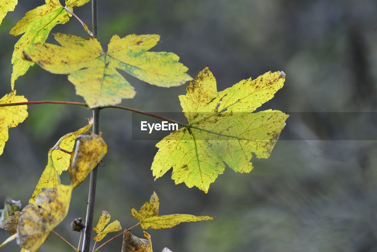 plant part, leaf, plant, focus on foreground, close-up, autumn, beauty in nature, growth, day, nature, no people, leaves, change, leaf vein, outdoors, tranquility, green color, vulnerability, yellow, fragility, maple leaf