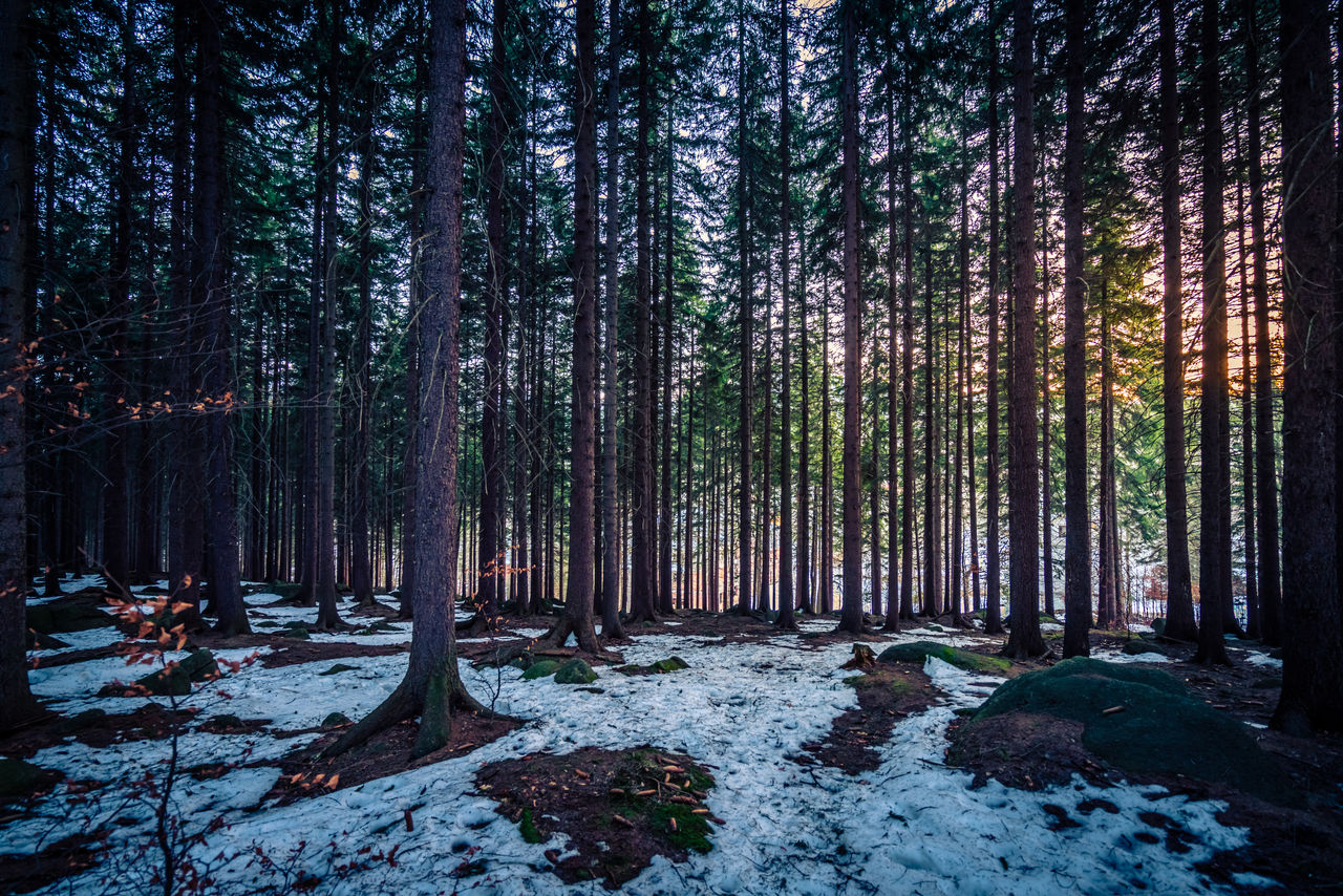 tree, forest, land, plant, snow, winter, cold temperature, tranquility, nature, beauty in nature, woodland, tree trunk, trunk, growth, no people, tranquil scene, scenics - nature, non-urban scene, covering, outdoors, pine woodland