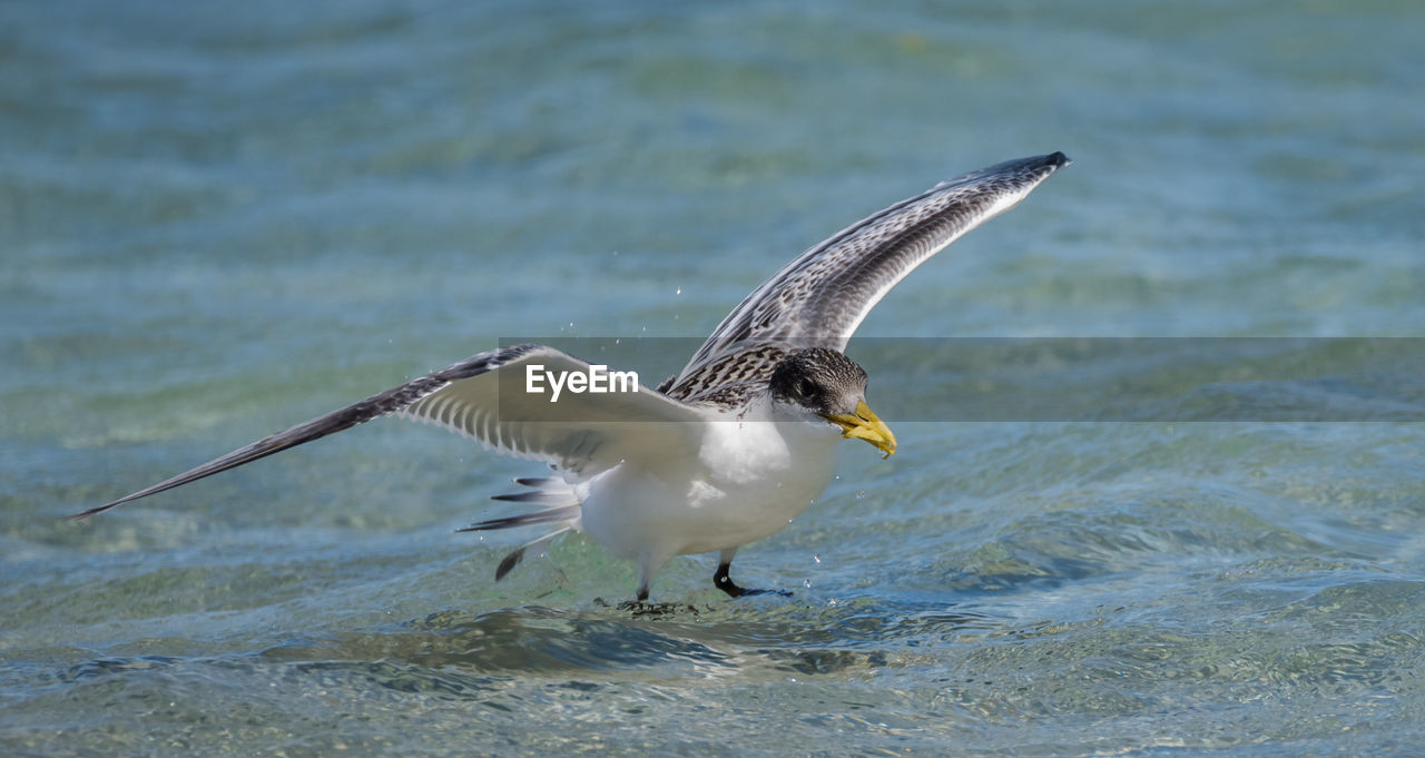 animal, animal themes, animals in the wild, animal wildlife, vertebrate, bird, flying, one animal, spread wings, water, sea, motion, waterfront, day, no people, nature, seagull, mid-air, outdoors