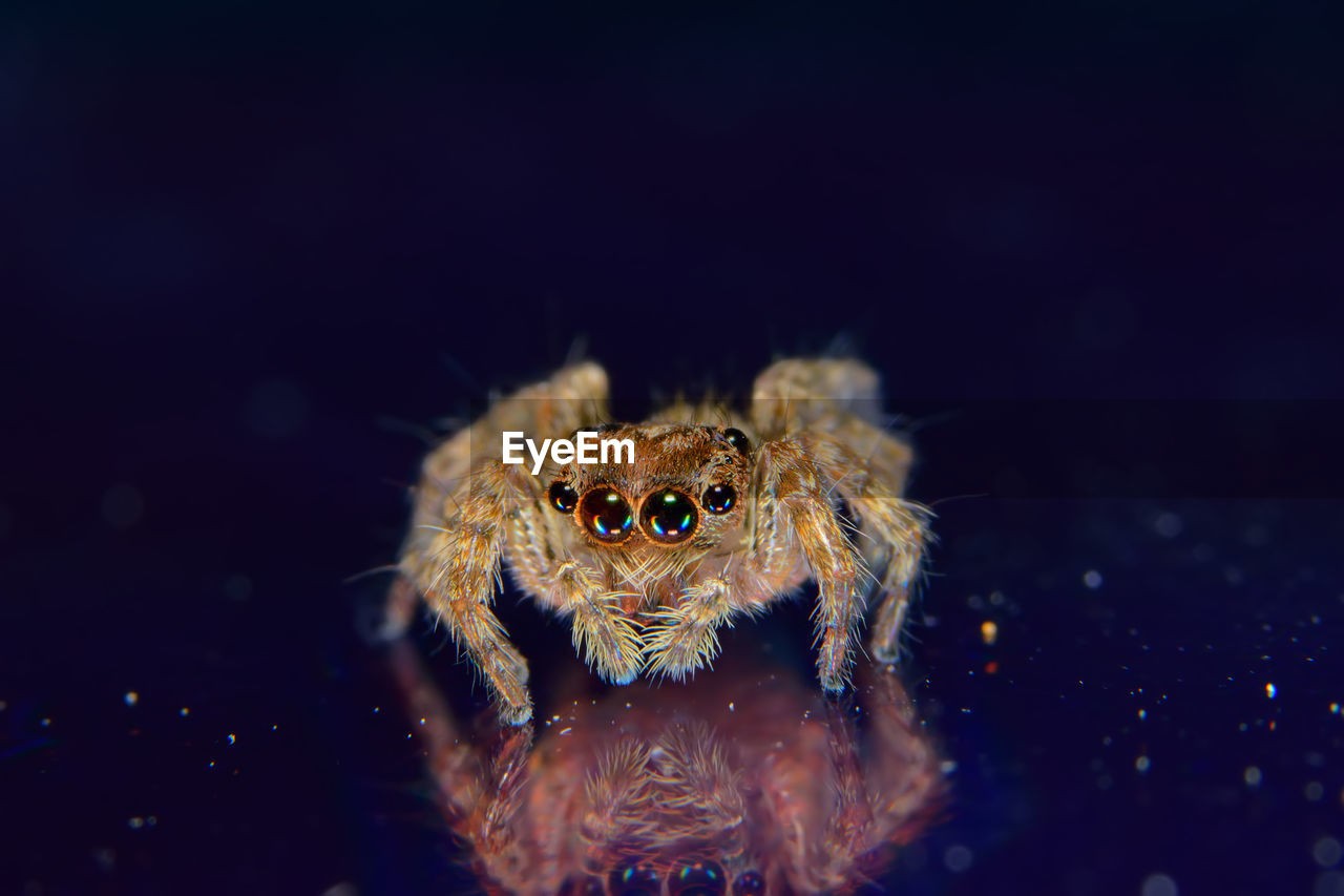 one animal, spider, animals in the wild, animal themes, jumping spider, animal wildlife, no people, close-up, nature, indoors, day