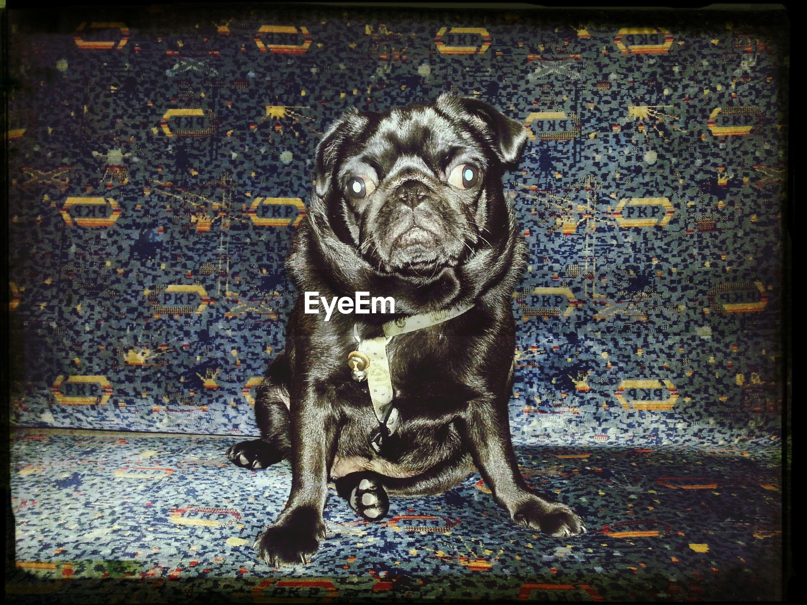 Close-up portrait of black pug sitting at home