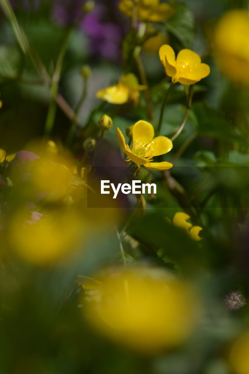 yellow, flower, growth, selective focus, plant, nature, petal, fragility, freshness, beauty in nature, no people, close-up, outdoors, blooming, flower head, day