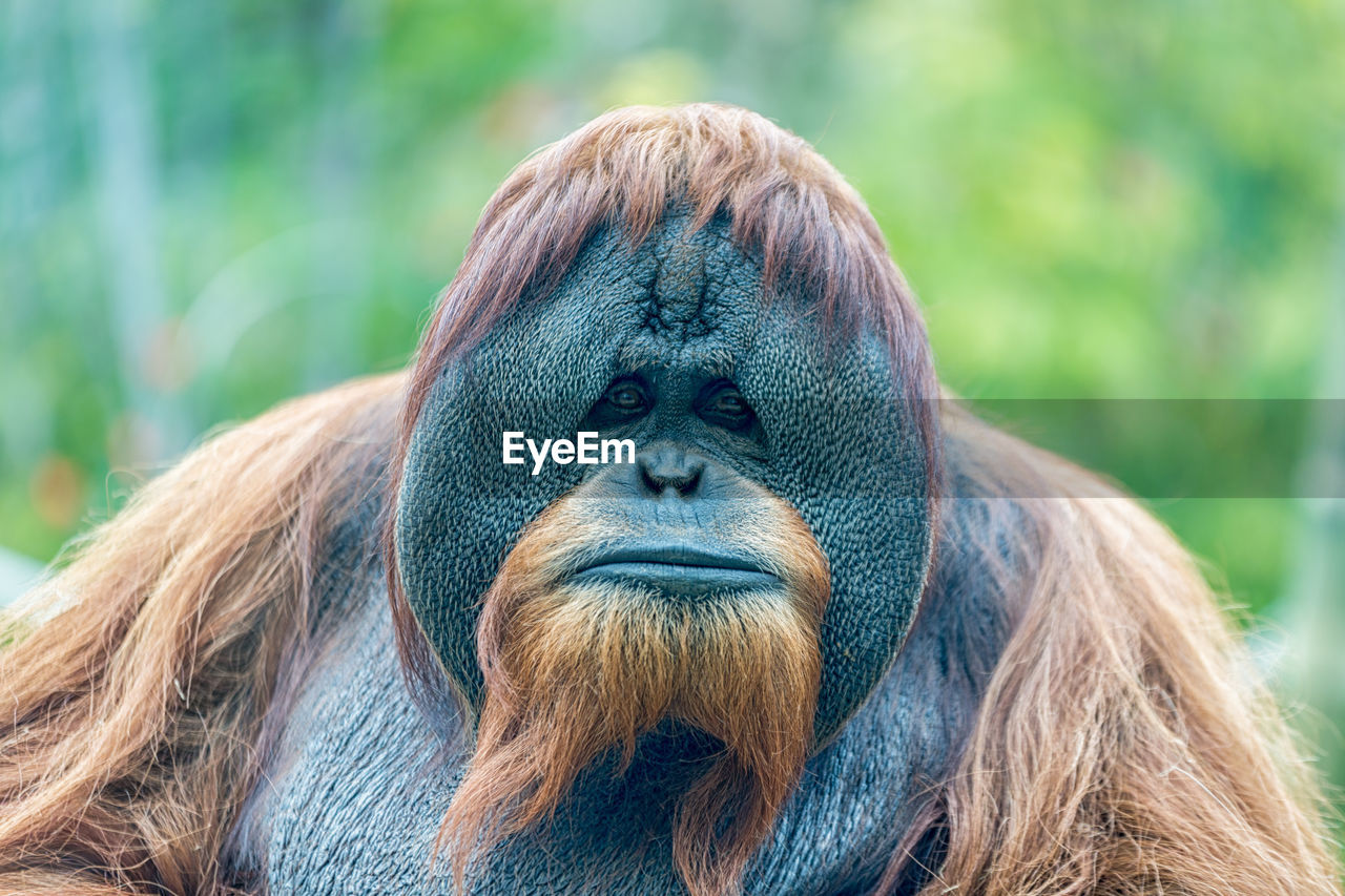 primate, one animal, ape, animal wildlife, focus on foreground, animals in the wild, mammal, hair, close-up, vertebrate, day, portrait, no people, looking away, nature, hairstyle, herbivorous