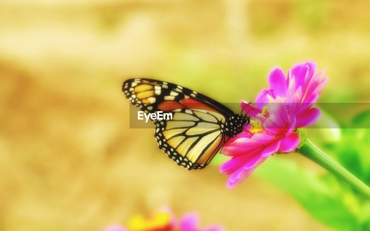 flower, insect, nature, fragility, pink color, animals in the wild, one animal, butterfly - insect, freshness, animal themes, petal, beauty in nature, no people, outdoors, animal wildlife, close-up, flower head, plant, day, pollination, perching