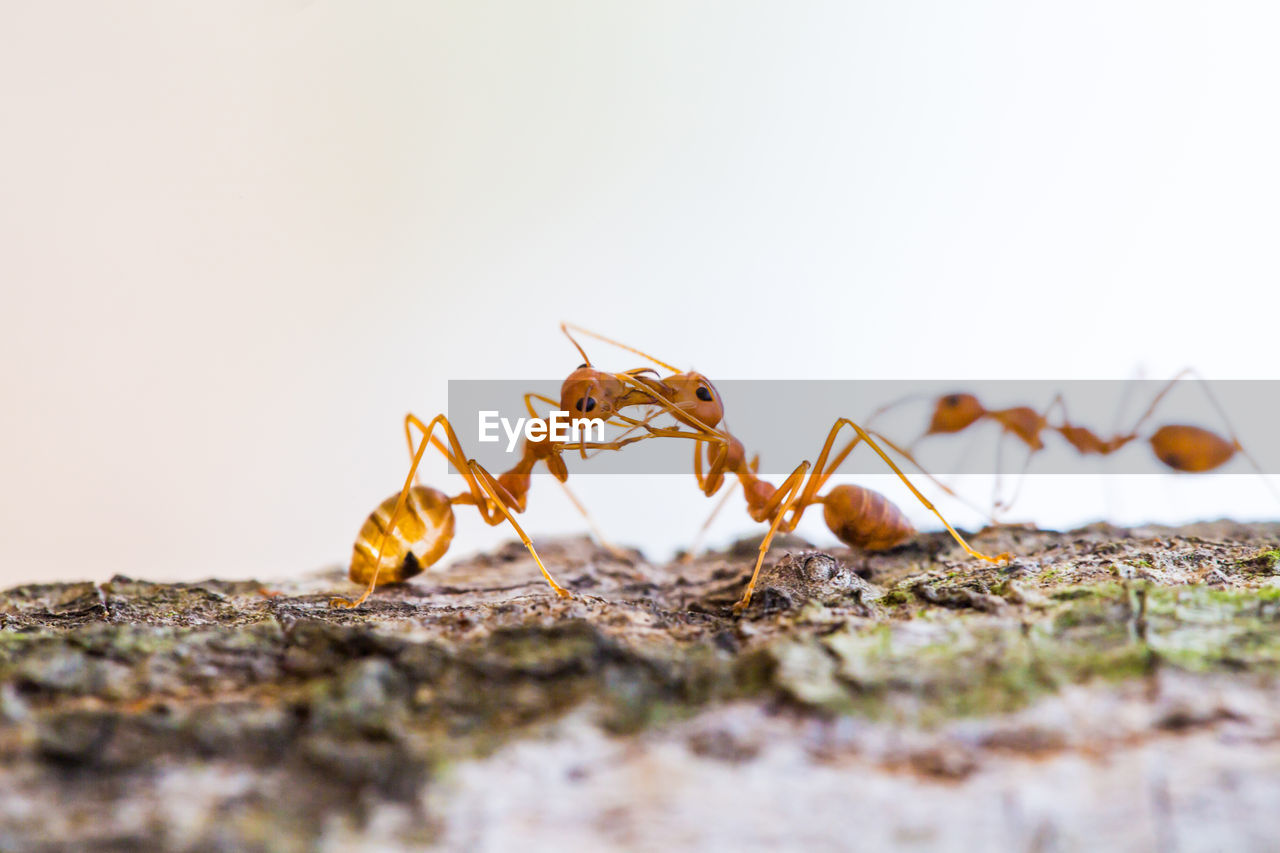 invertebrate, insect, selective focus, animal themes, animal, close-up, animals in the wild, animal wildlife, no people, nature, one animal, copy space, day, ant, animal body part, arthropod, outdoors, zoology, land, surface level