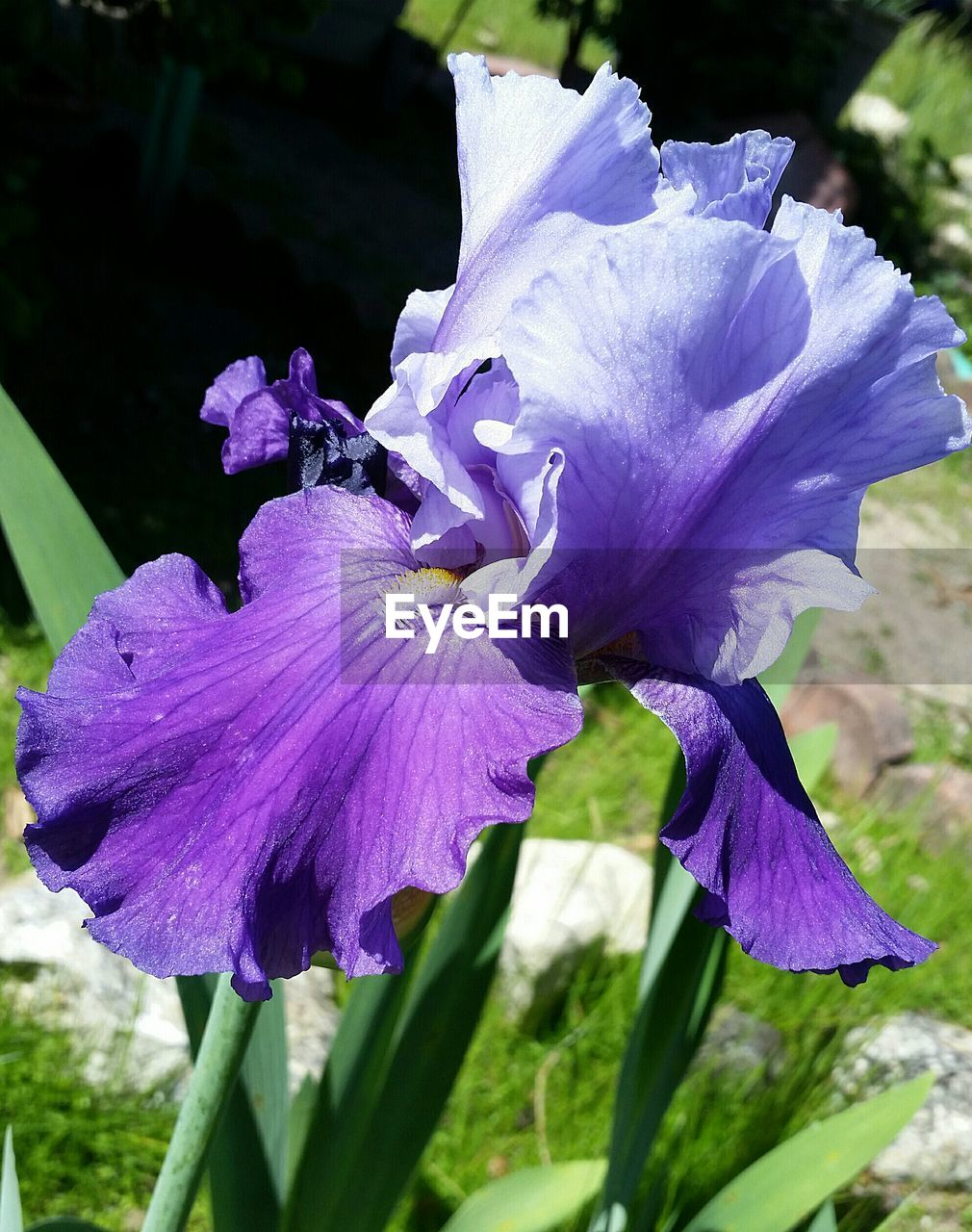 flower, fragility, petal, beauty in nature, flower head, nature, purple, growth, day, no people, freshness, outdoors, plant, close-up, focus on foreground, blooming, iris - plant, petunia