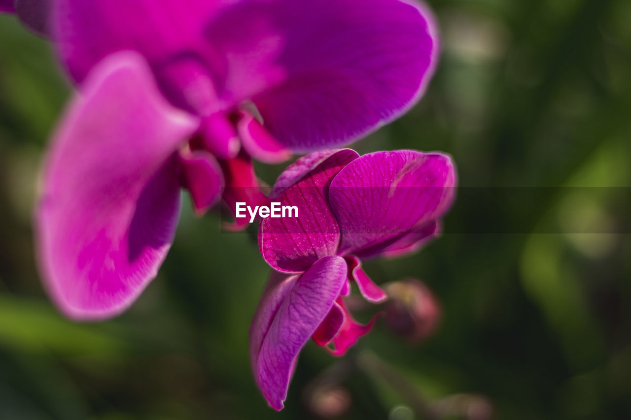flowering plant, flower, petal, fragility, vulnerability, beauty in nature, plant, close-up, pink color, freshness, growth, inflorescence, flower head, focus on foreground, purple, day, selective focus, nature, no people, outdoors