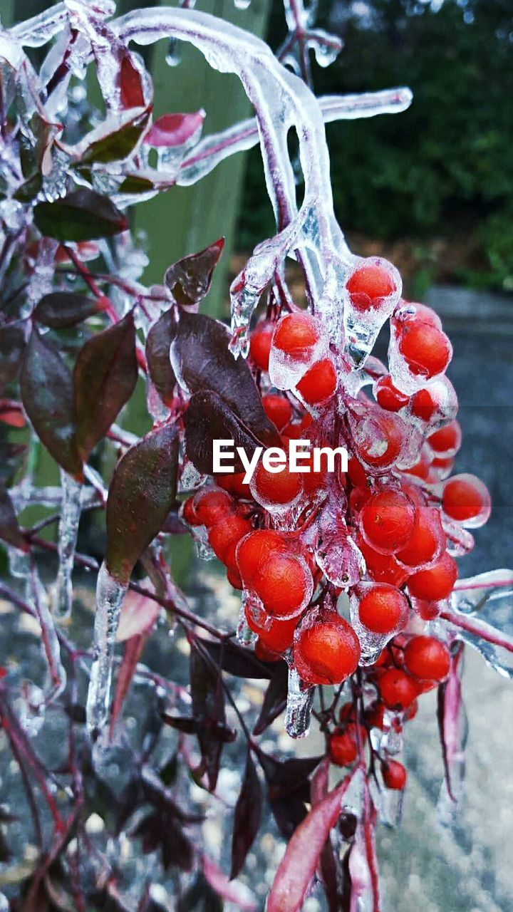 red, focus on foreground, fruit, nature, outdoors, tree, food and drink, growth, no people, day, beauty in nature, close-up, cold temperature, wet, winter, plant, freshness, food, water