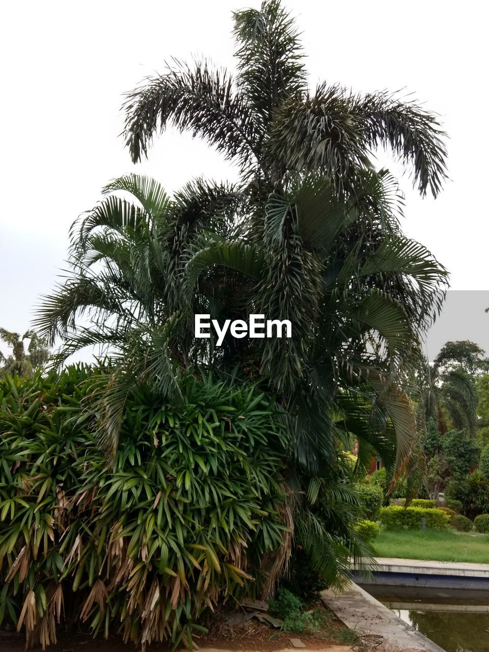 growth, tree, palm tree, plant, nature, green color, day, outdoors, no people, sky, beauty in nature, leaf, water, clear sky, close-up